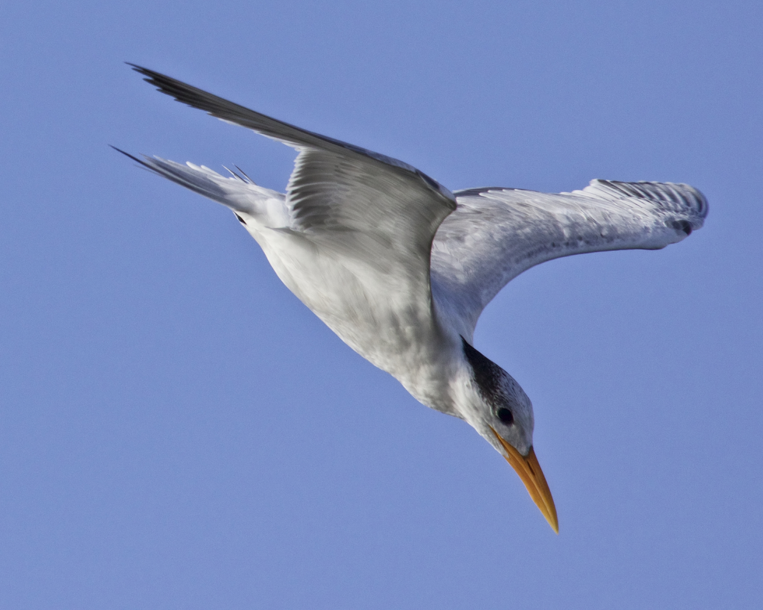 A Royal Terns spots a fish and goes into a dive..