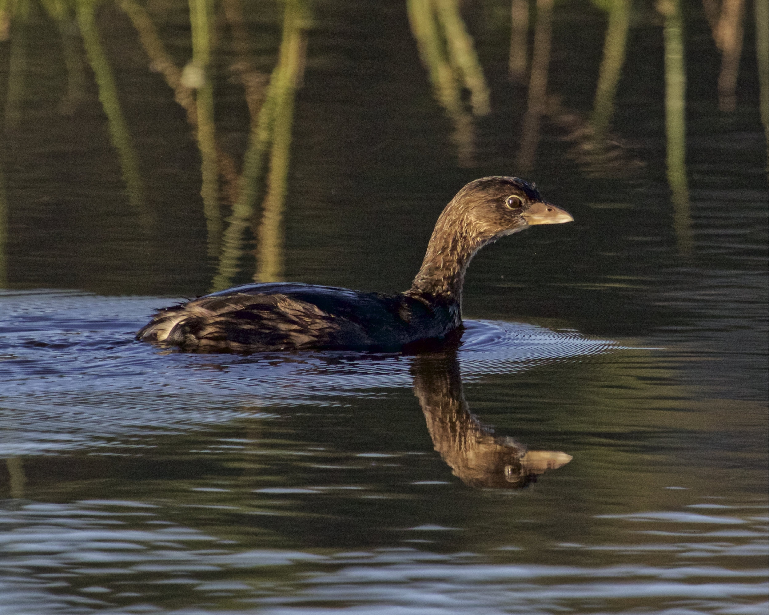 A   Pied-billed Grebe swims by in the early morning light..
