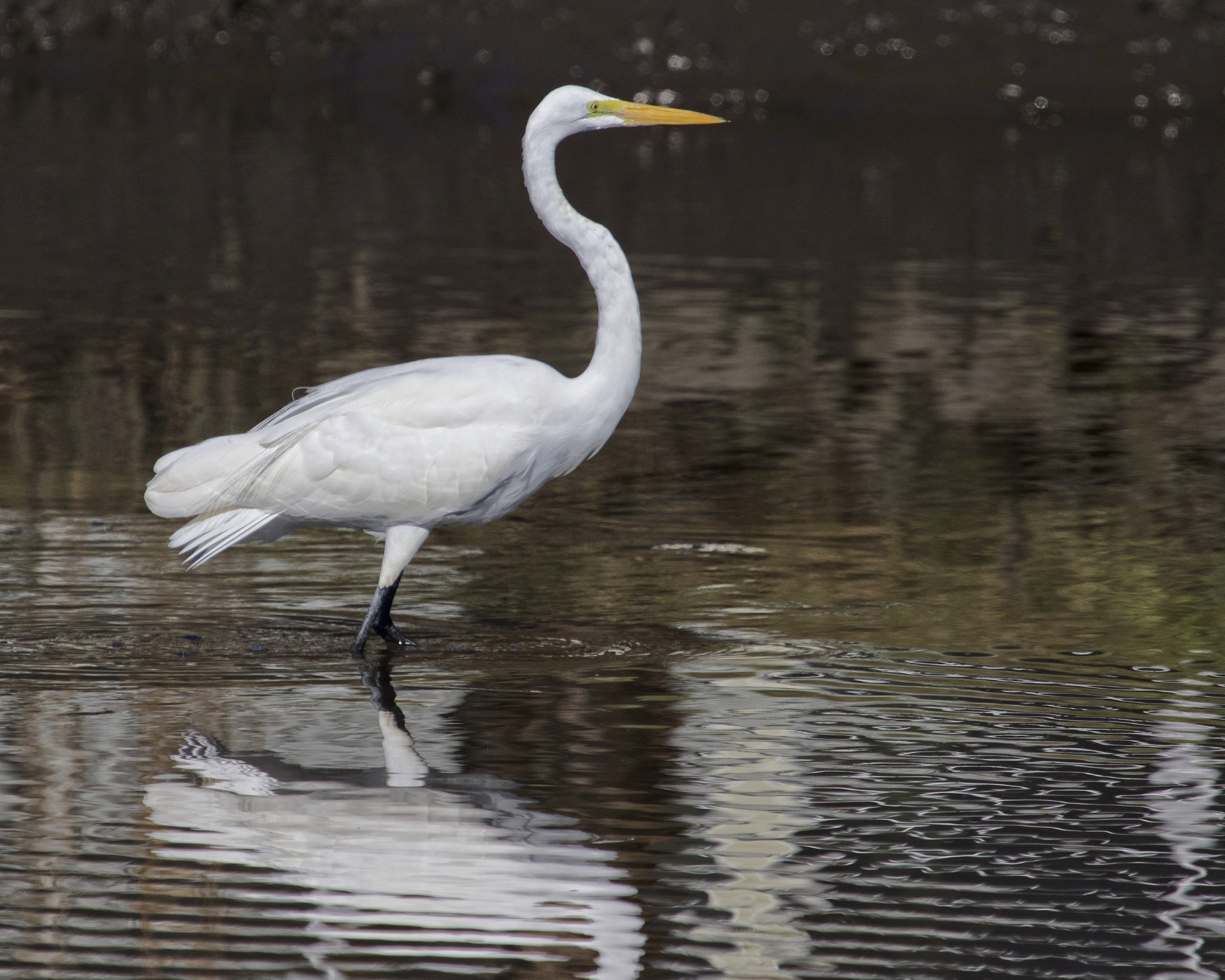 The Bride of the Broward, the Great Egret steps out of the shadows to begin its morning dance..