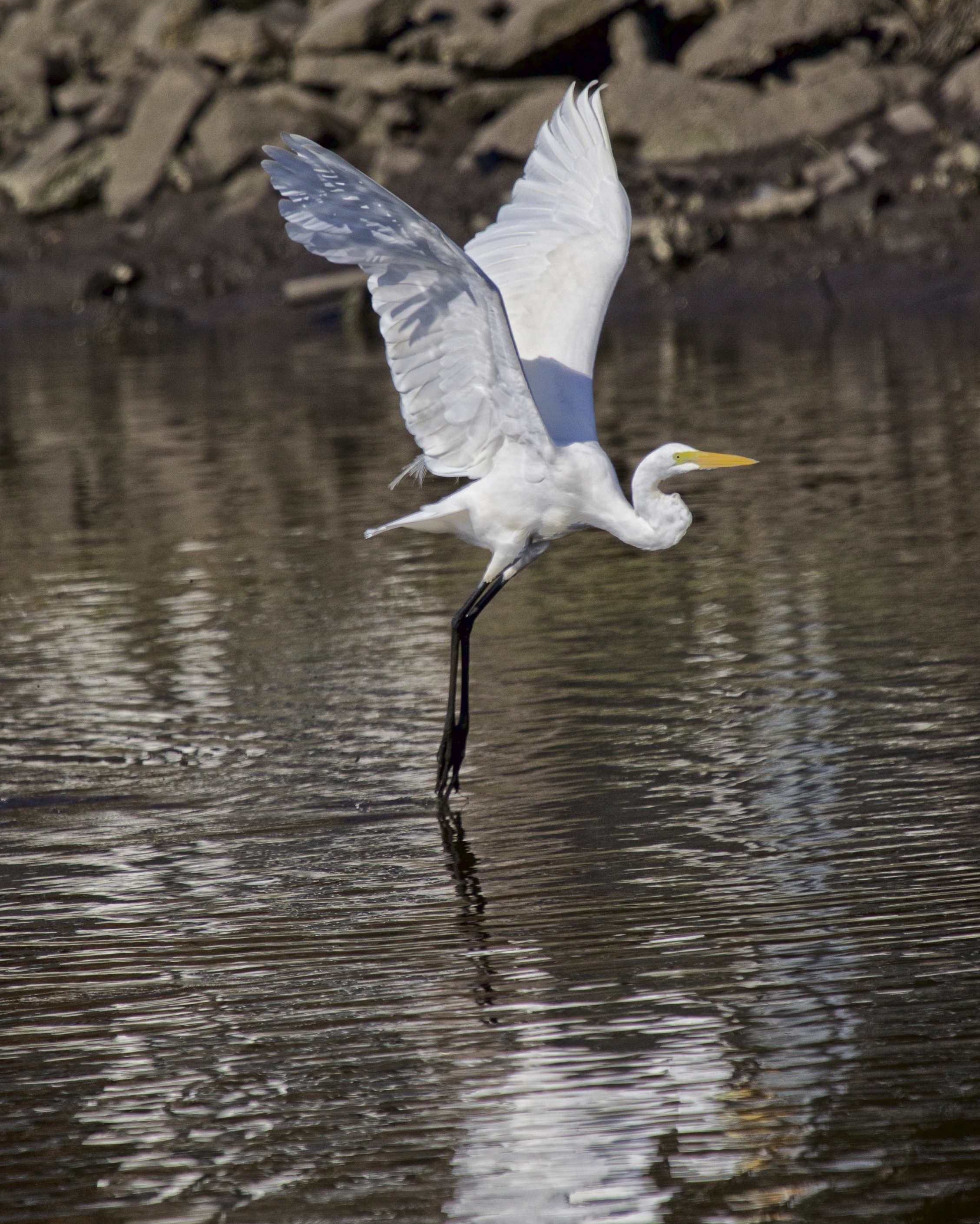 The music of morning begins..the long white  wings lift up to dance on the water