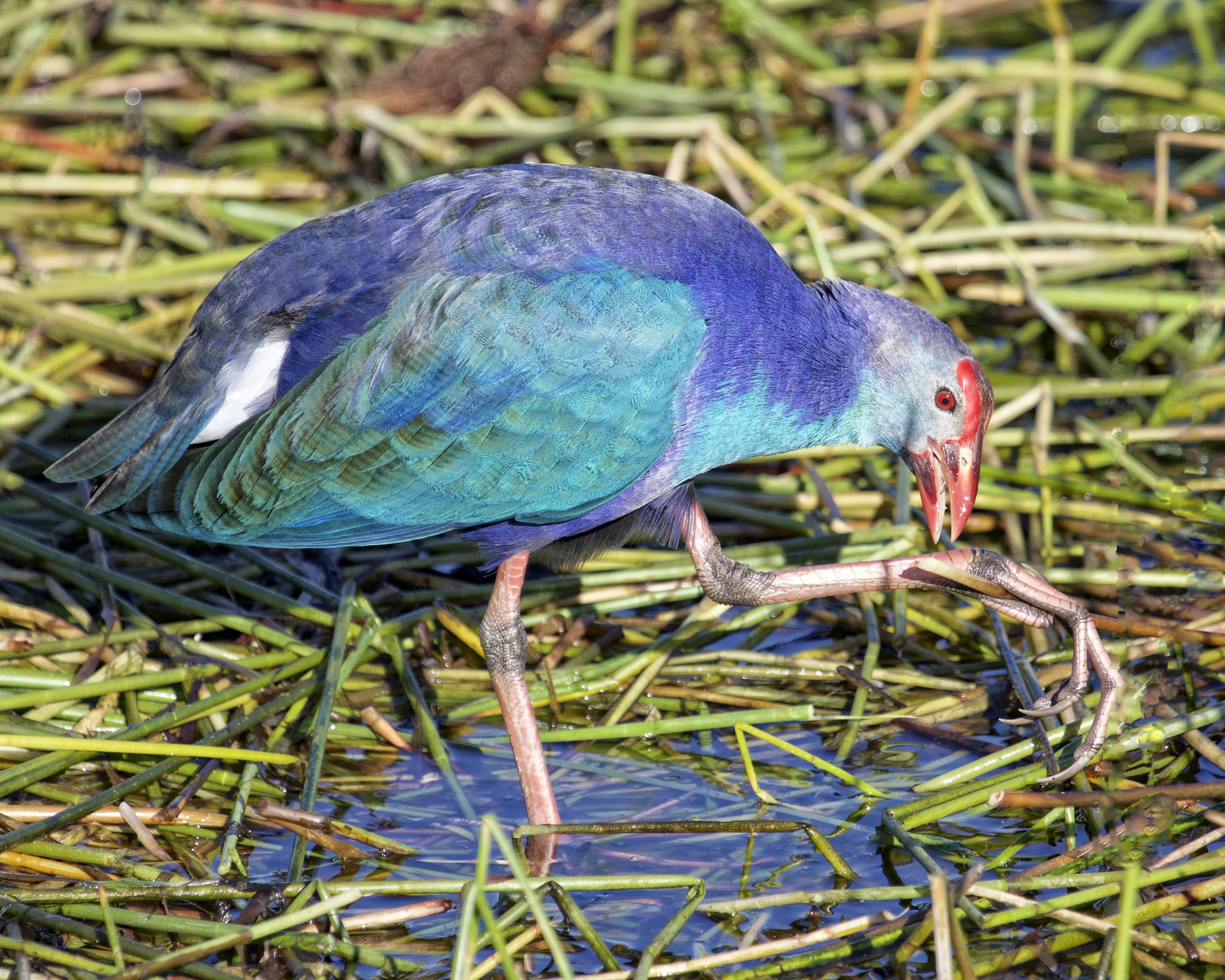 Royal, Magical, and Mystery aptly describe this bird..here feeding with its long toes to grasp the reeds.