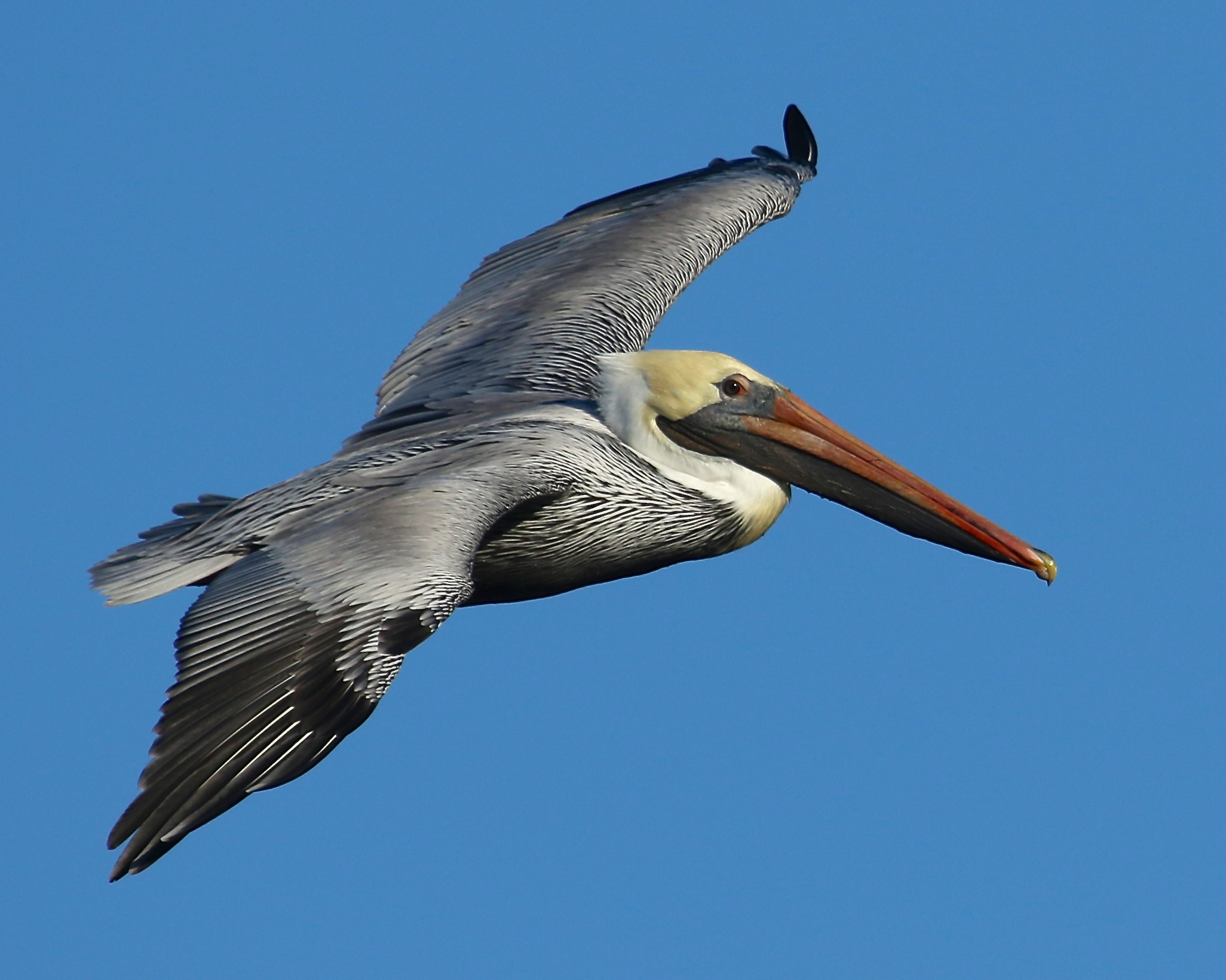 The Brown Pelican was back on the Broward in January following my friend Tommy's crab fishing boat.
