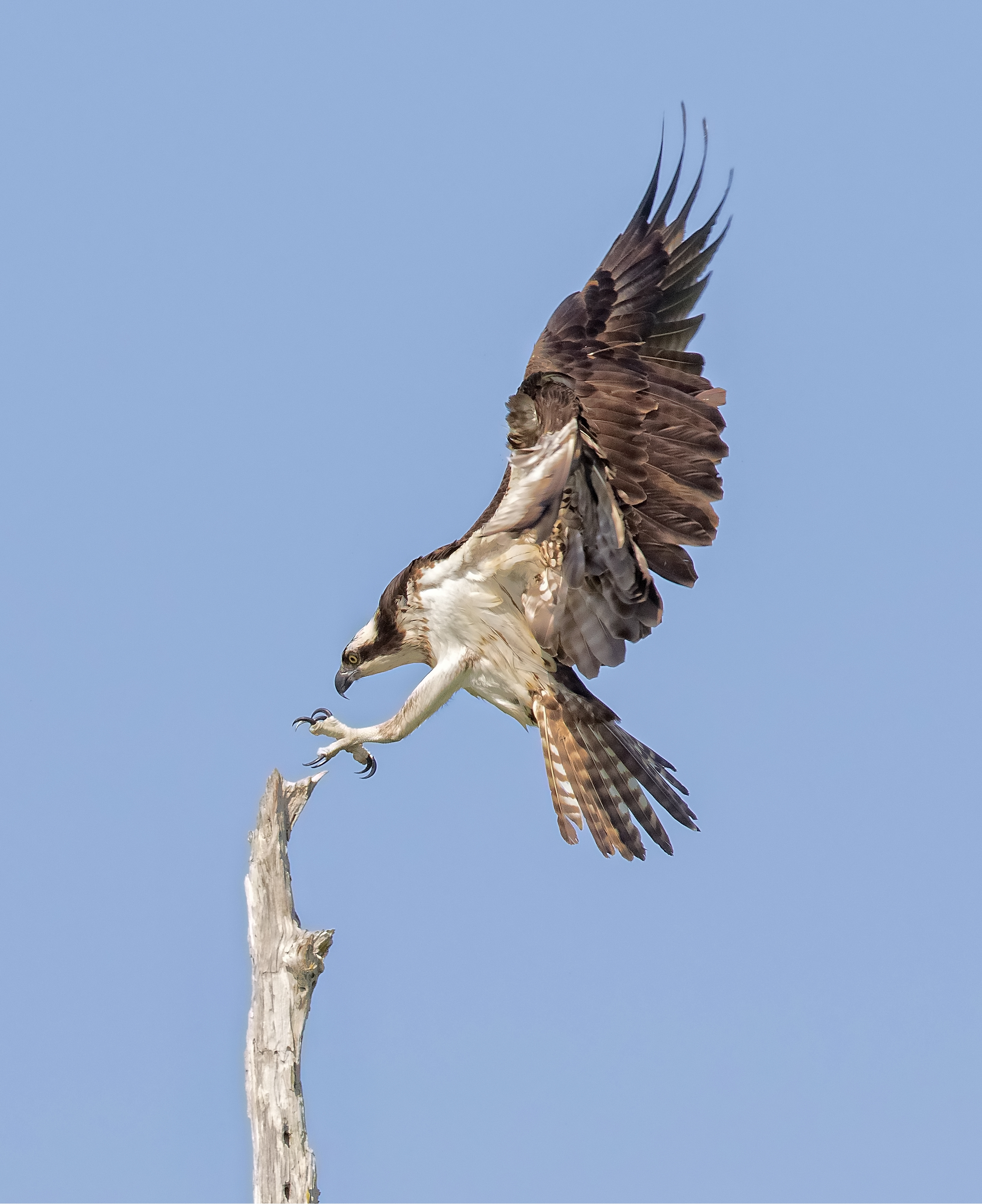 The awe inspiring Ospreys on Blue Cypress lake brought the promise of Springtime in March.