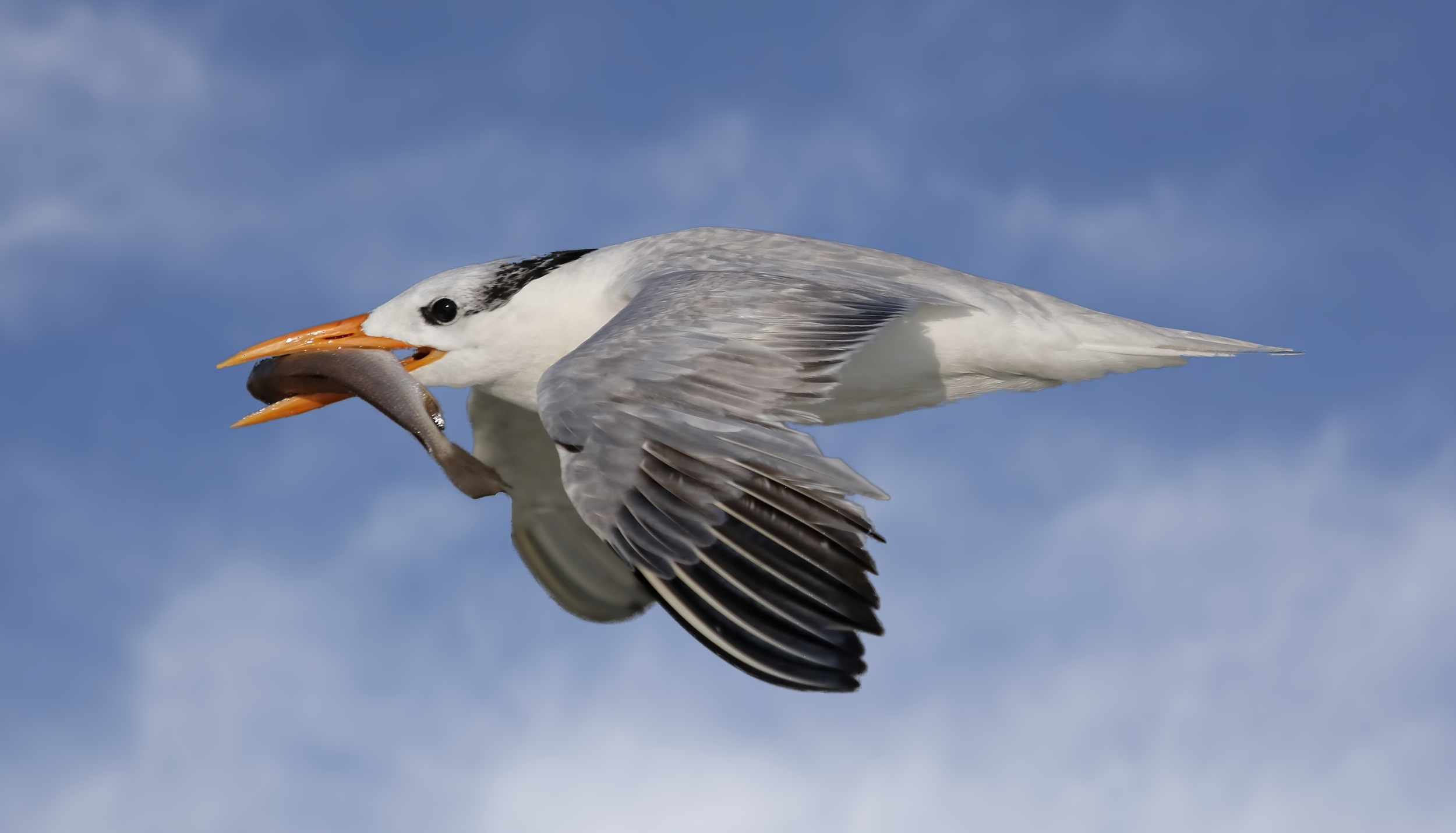 It takes a Royal village to raise a Royal Tern and lots of fish at Huguenot Beach in August.
