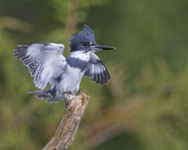 The illusive 007, a Belted Kingfisher was captured by my doohickey in November..