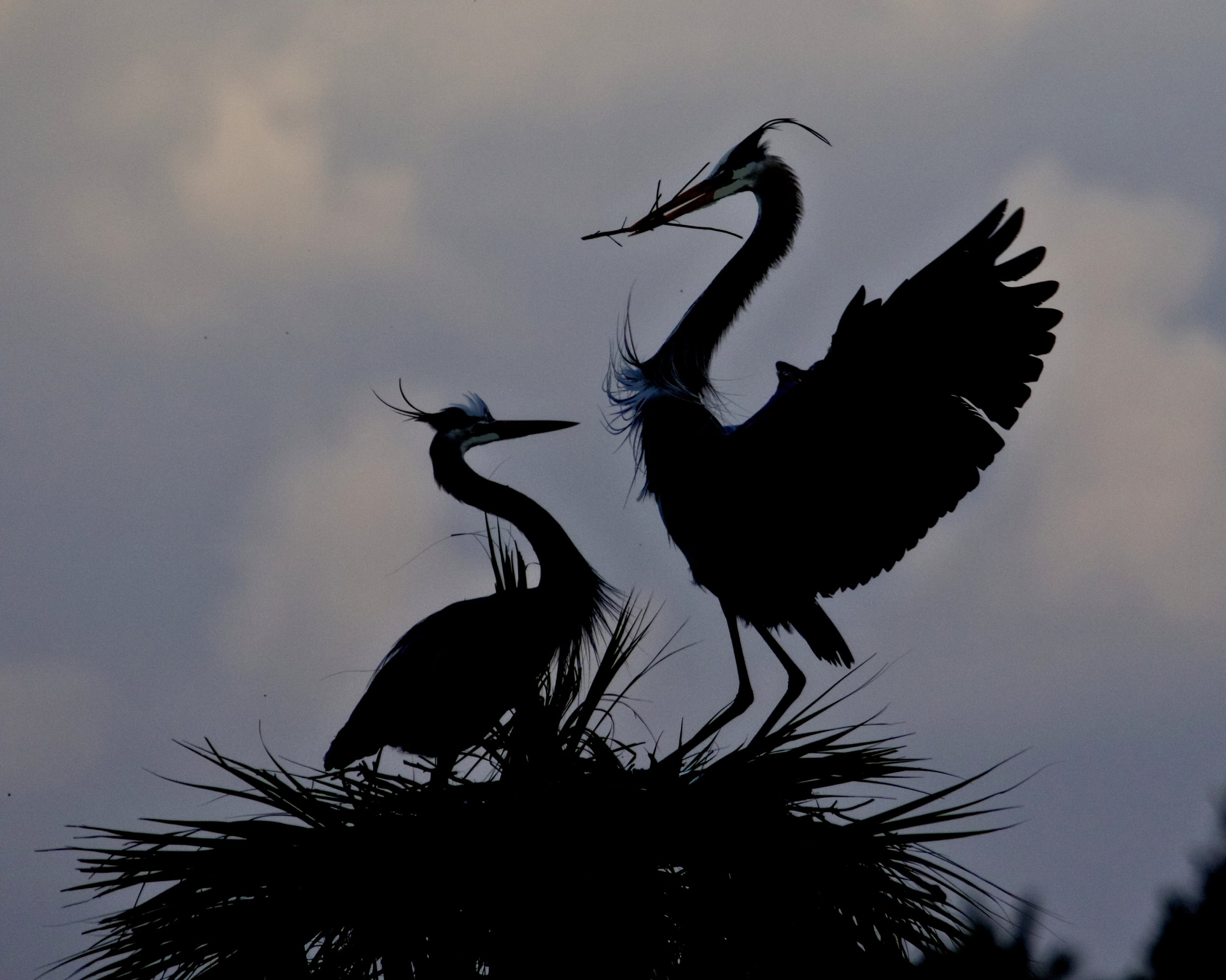 Gus and Greta, the Great Blue Herons were still busy preparing for the next generation..