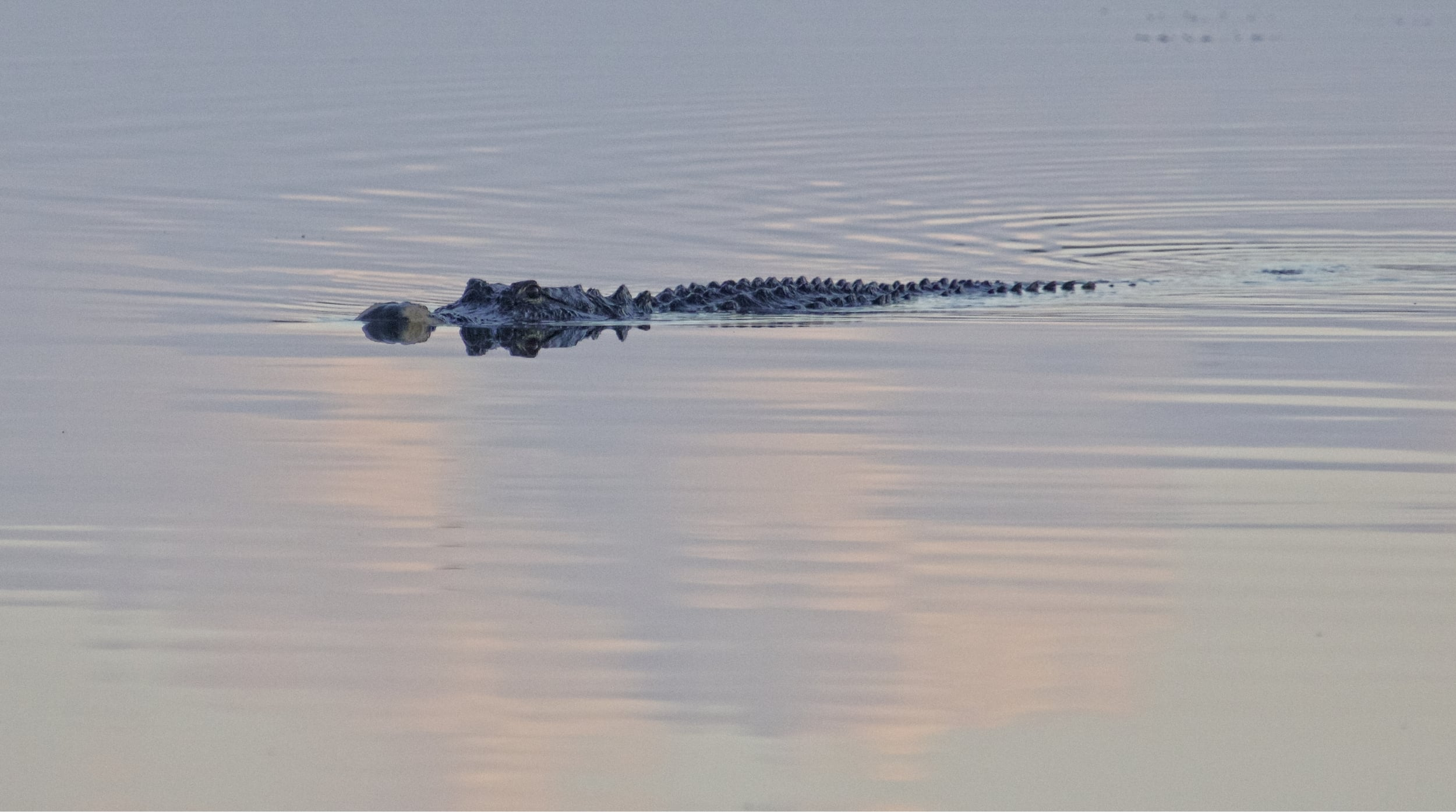 An enormous alligator glides silently across the pond..