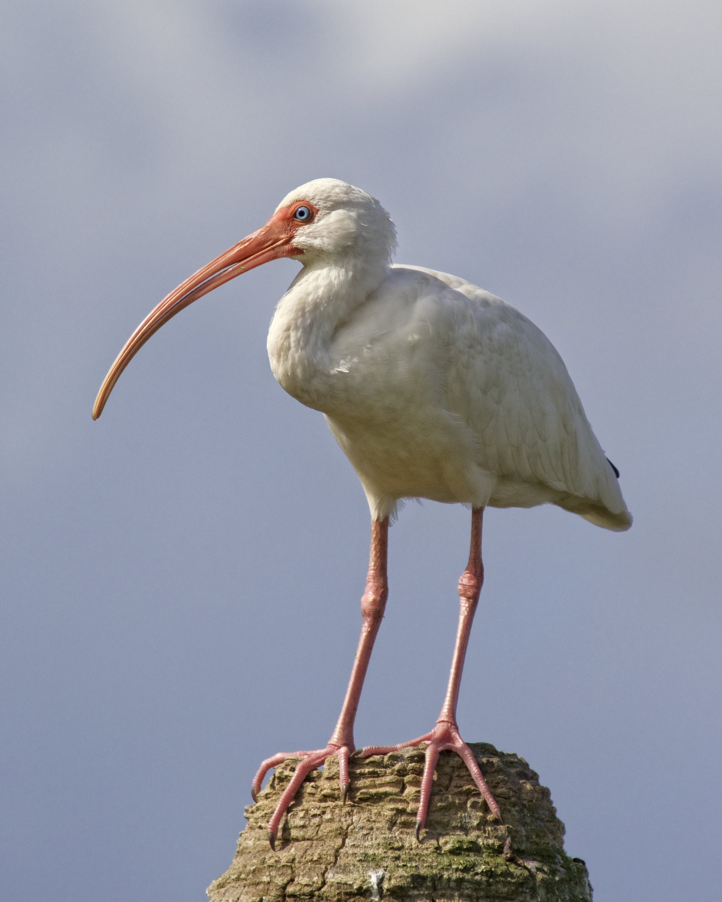 Ole Blue Eyes, the White Ibis says see ya later..watch out for the Gator!