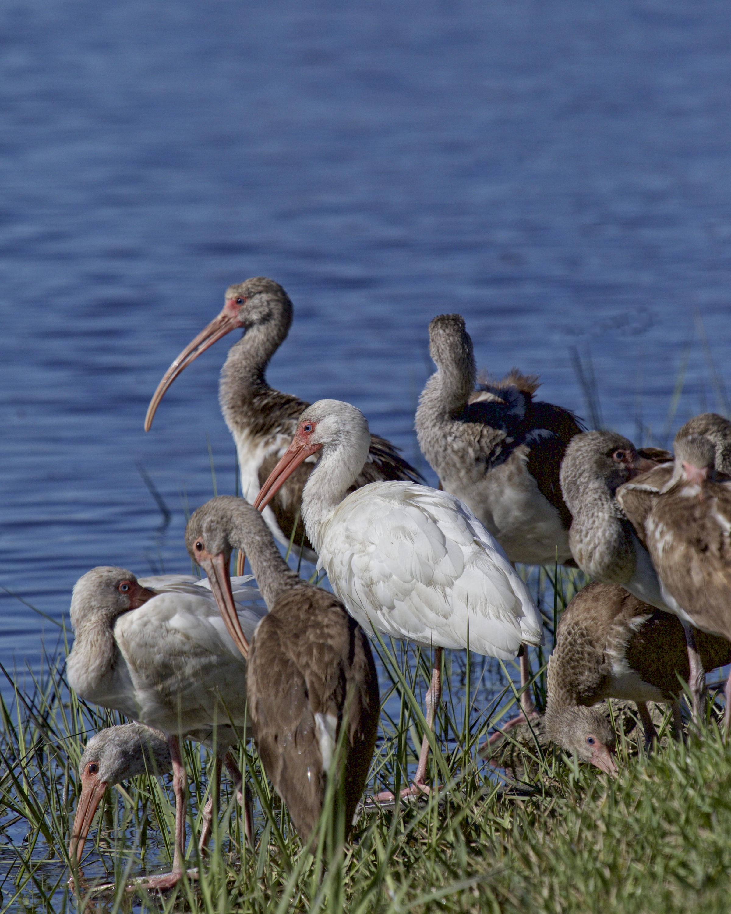 Shall we gather at the river? ..a small flock of immature White Ibis have been feeding in the back yard the past few weeks..