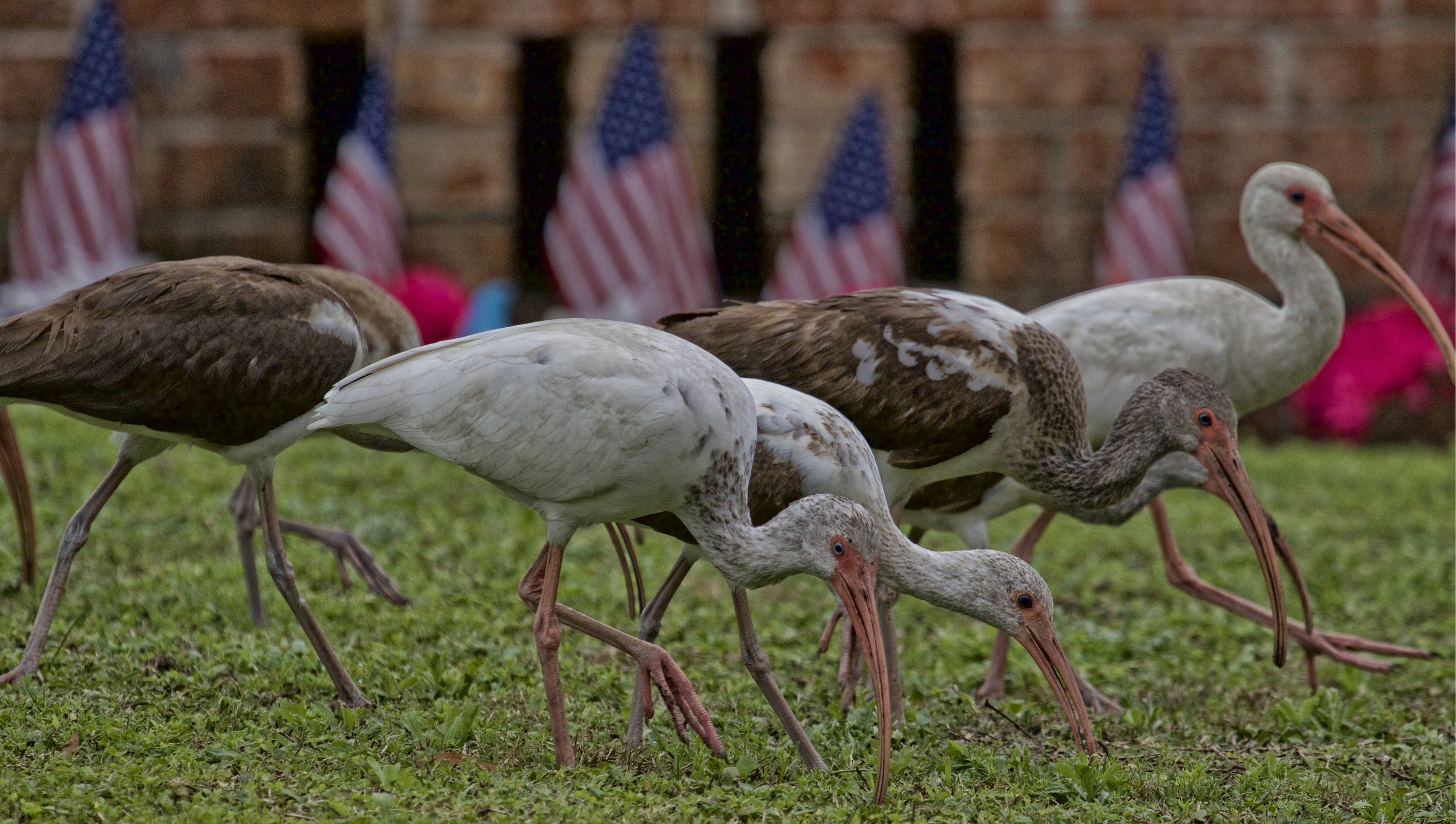 The young White Ibis have been visiting lawns all over the neighborhood feeding in the grass.