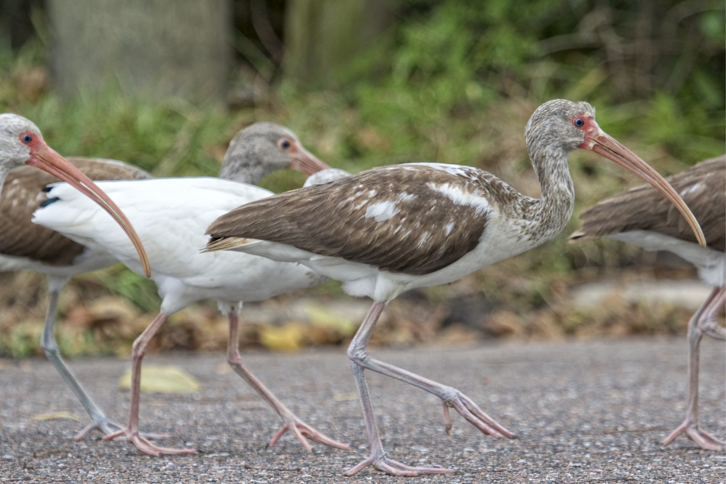 The Immature White Ibis are brown and eventually the feathers turn white..they walk right in front of me as I lay in the driveway.