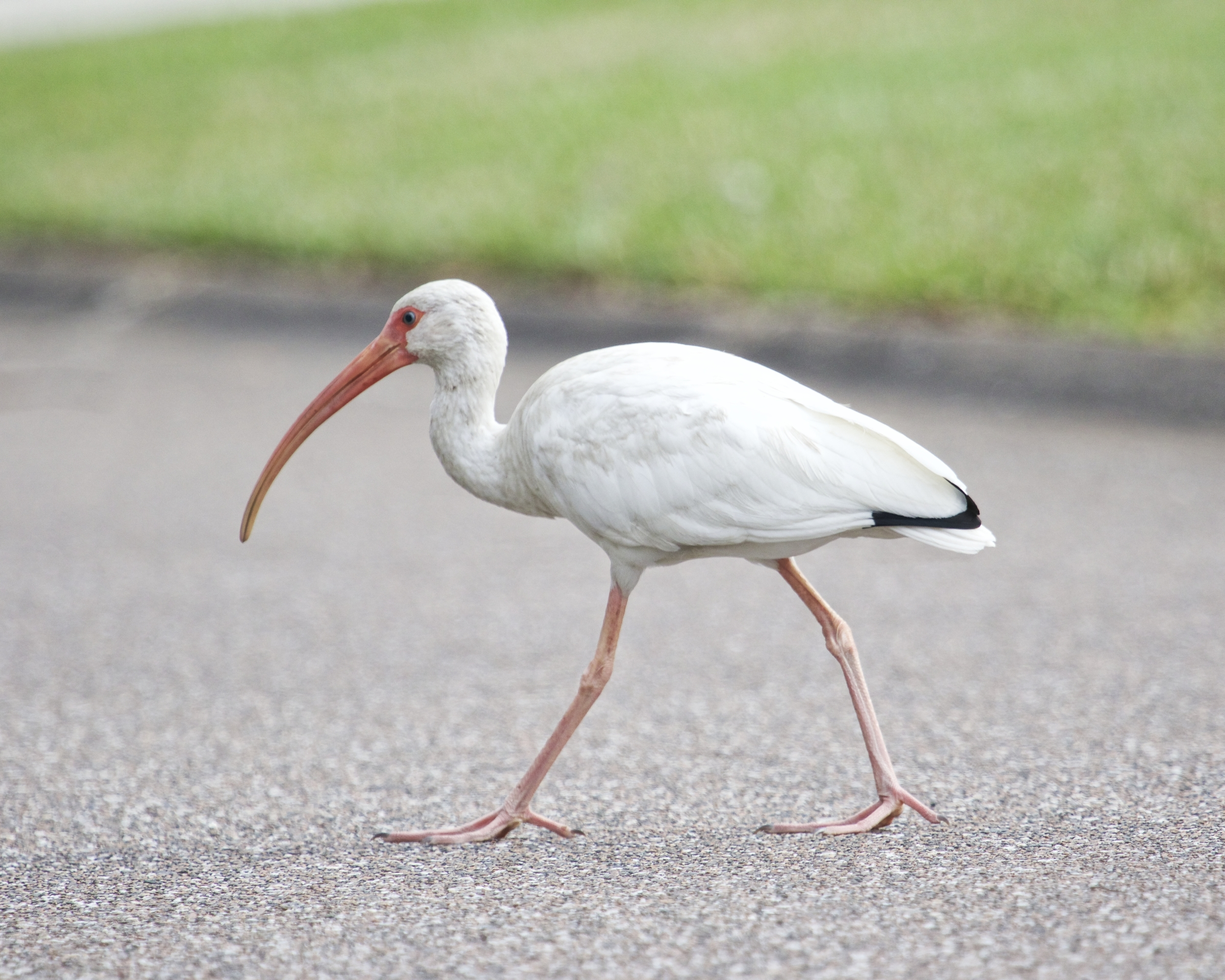 This young adult White Ibis has black wing tips and is nearly mature..