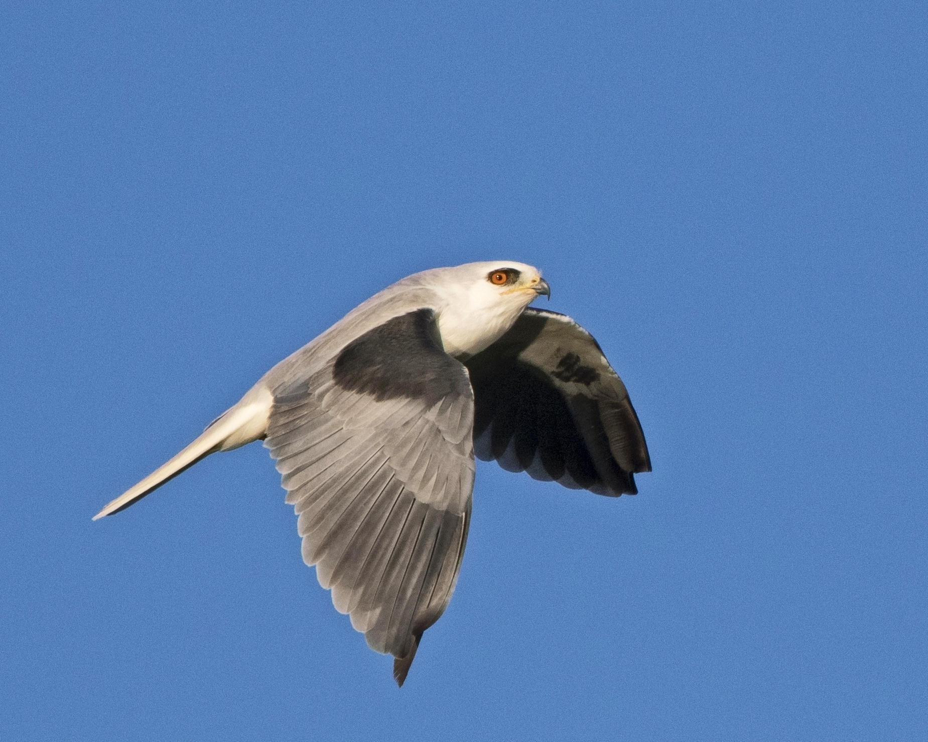 White-tailed Kite, note the red eyes...