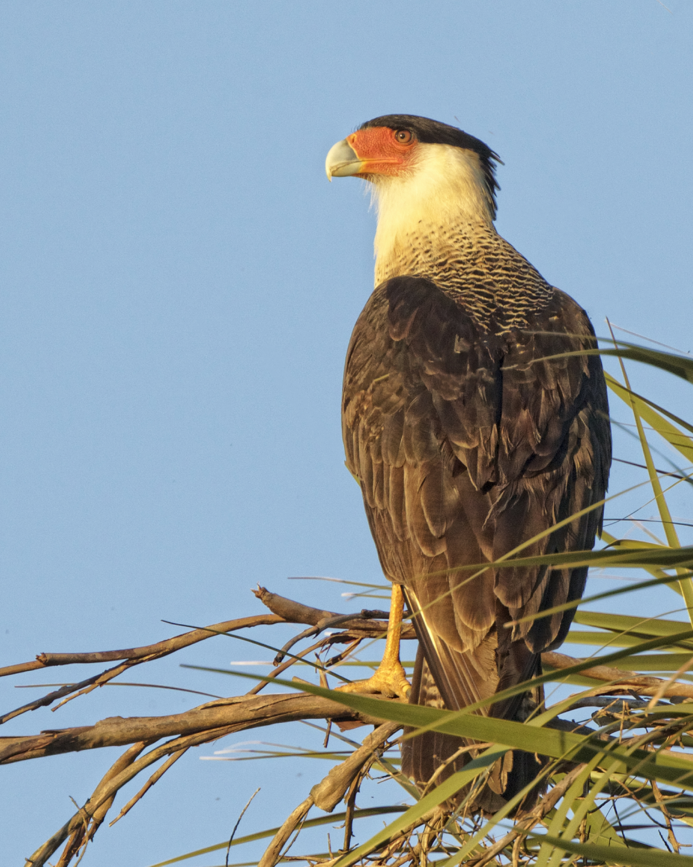 This Caracara is mainly a feeder of carrion or road kill