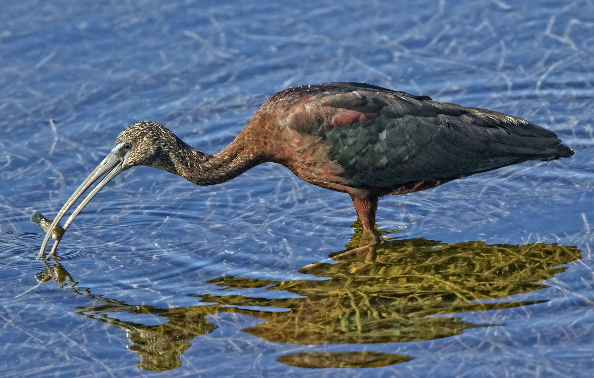 Glossy Ibis with snack..