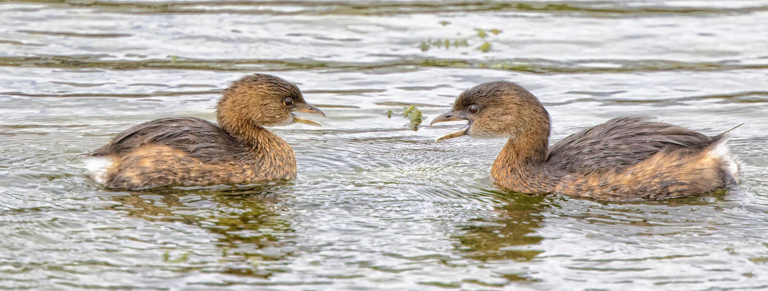 Mating Pair of Pied-billed Grebes having a little discussion..(click on photo to enlarge for full effect)