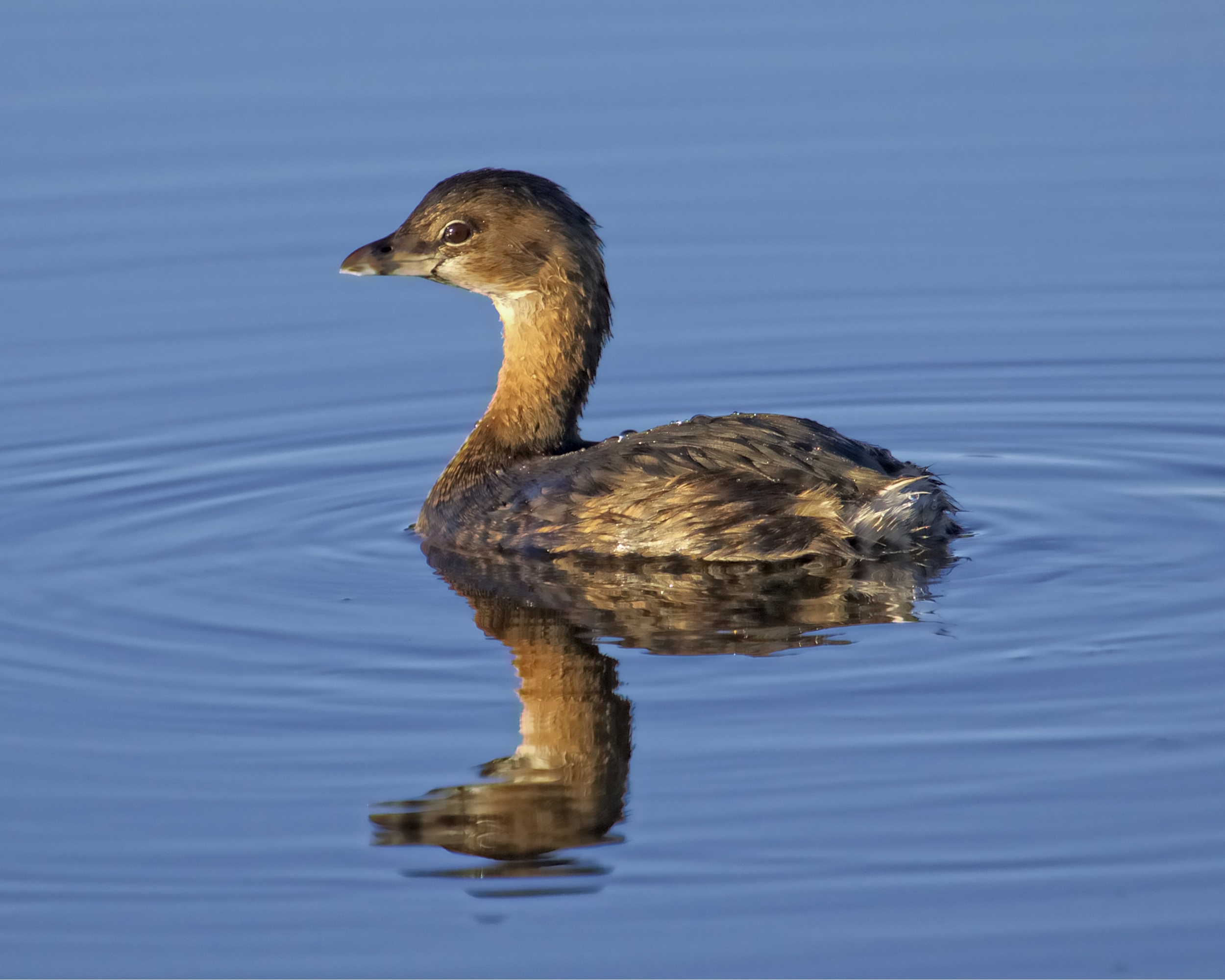 Sky Blues seem deep and rich right after dawn as this little Pied-billed Grebe gets ready to feed..