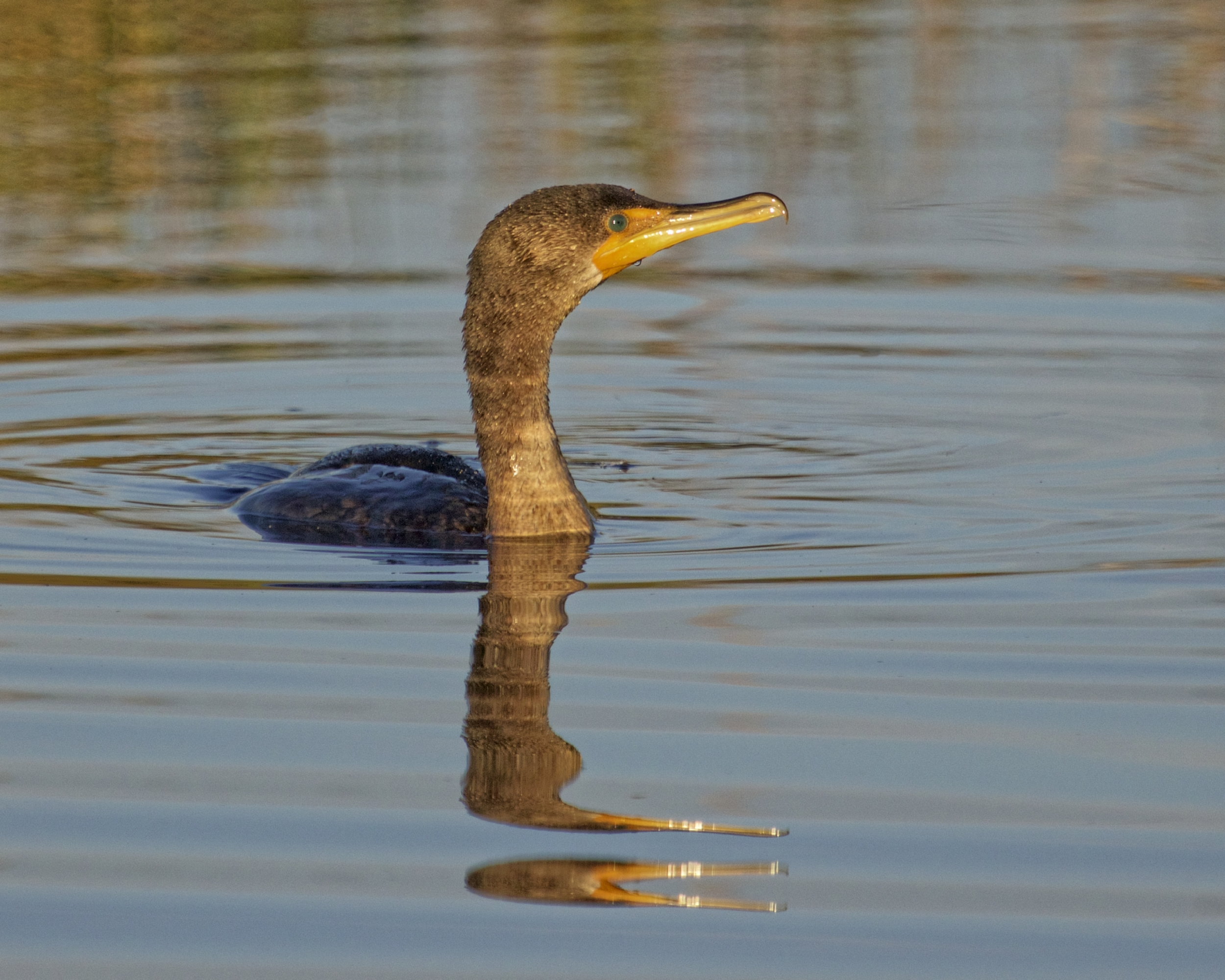 A cormorant surfaces in the golden light of morning..