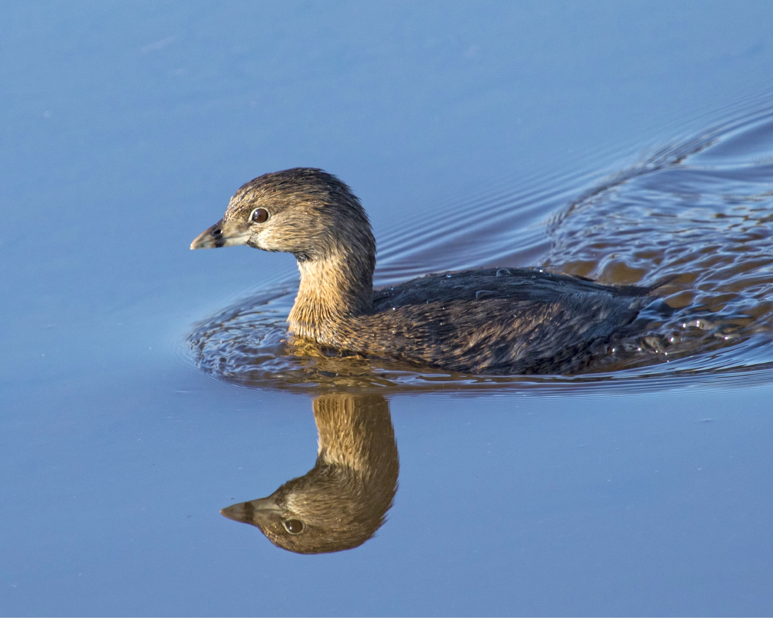 The Pied-billed Grebe didn't see its shadow so Spring will be here 20 Mar 16 rain or shine..