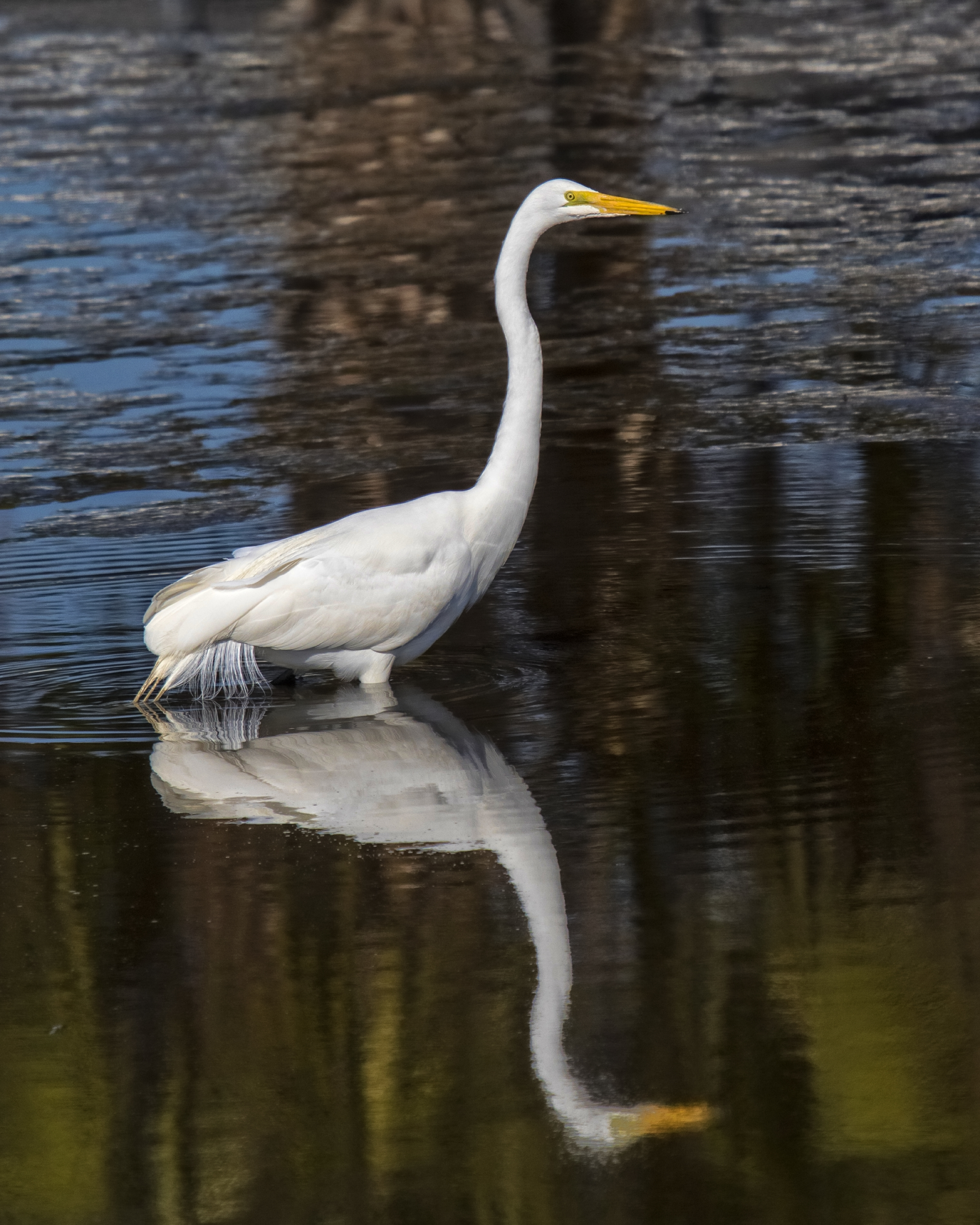 A Great Egret sits patiently in its favorite fishing hole...watching and waiting