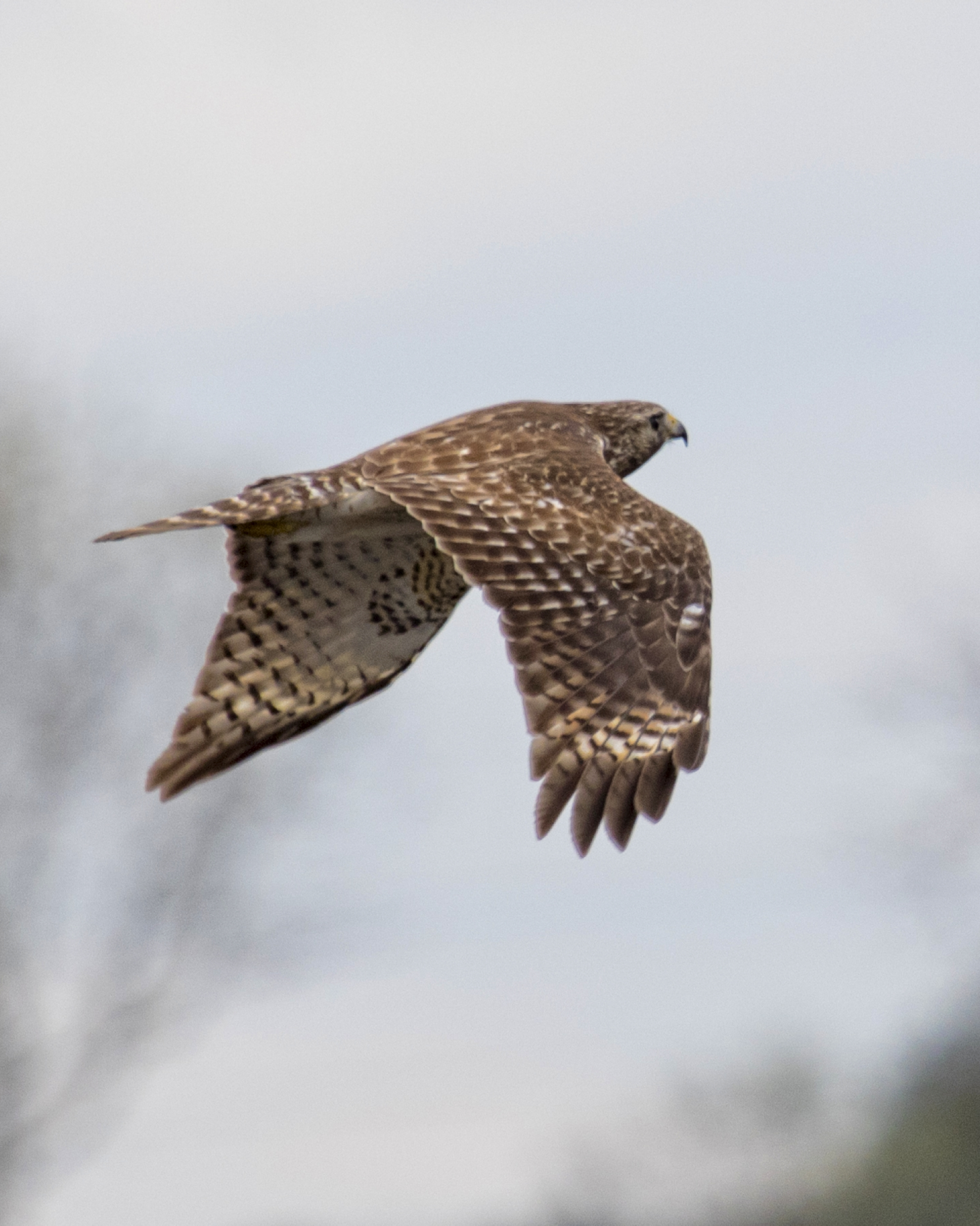 The quiet peace of the morning is disturbed by an irritating and annoying call from a juvenile Red-Shouldered Hawk
