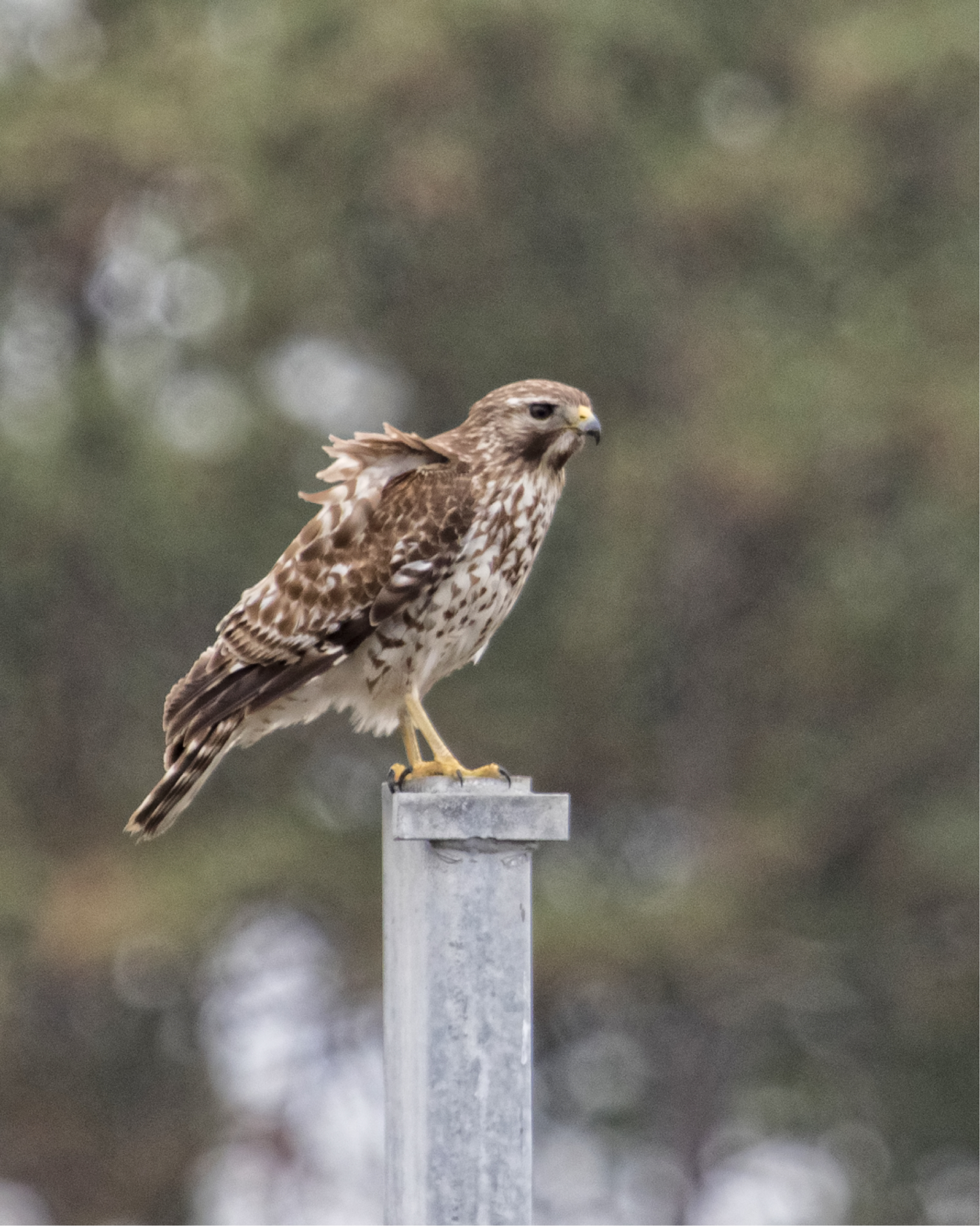 The hawk lands on the dock hoist and surveys for possible breakfast. The birds take flight!