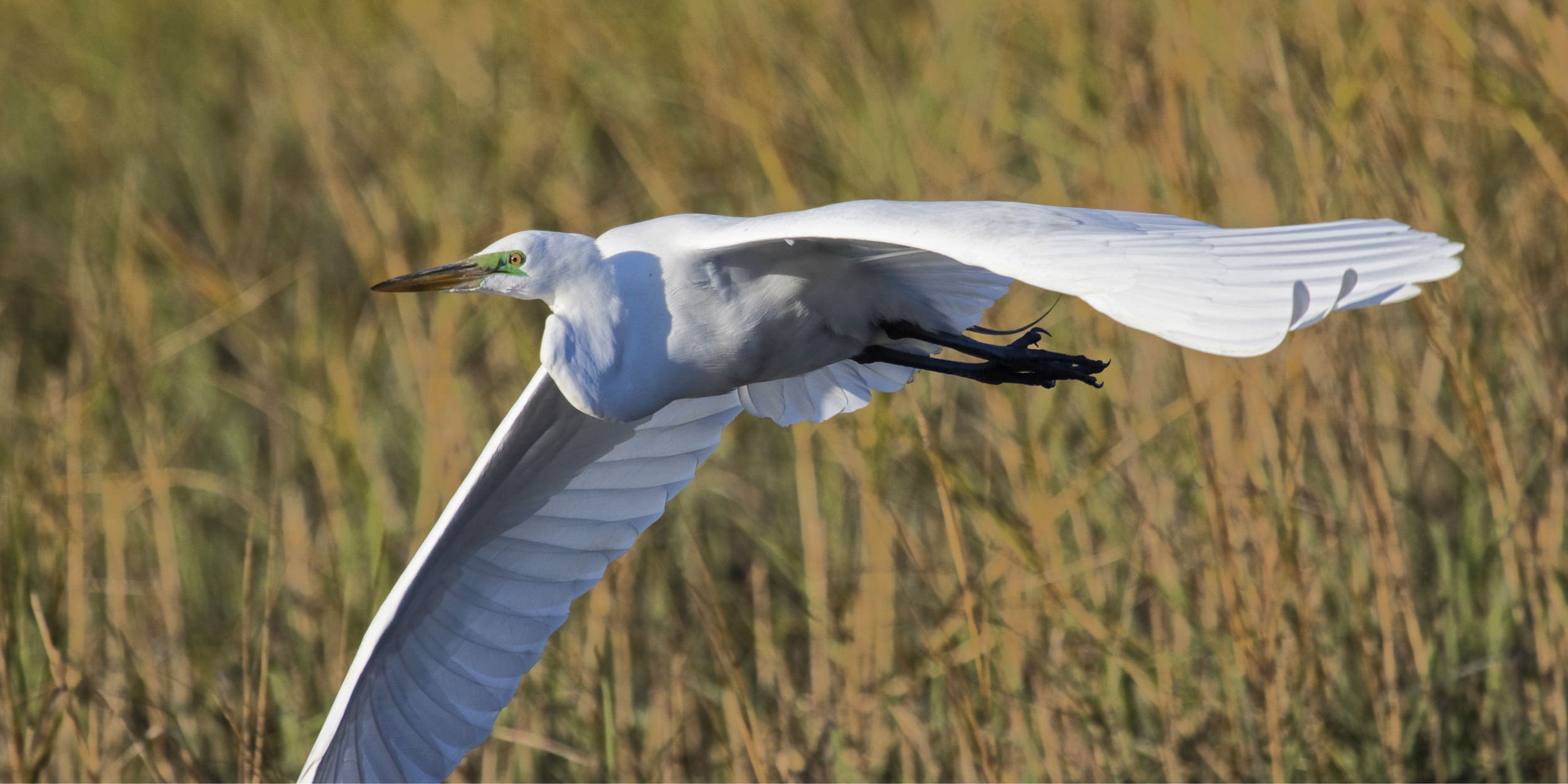 Signs of Spring when the birds begin to show breeding colors. Note the bright green around the Great Egret's eye..