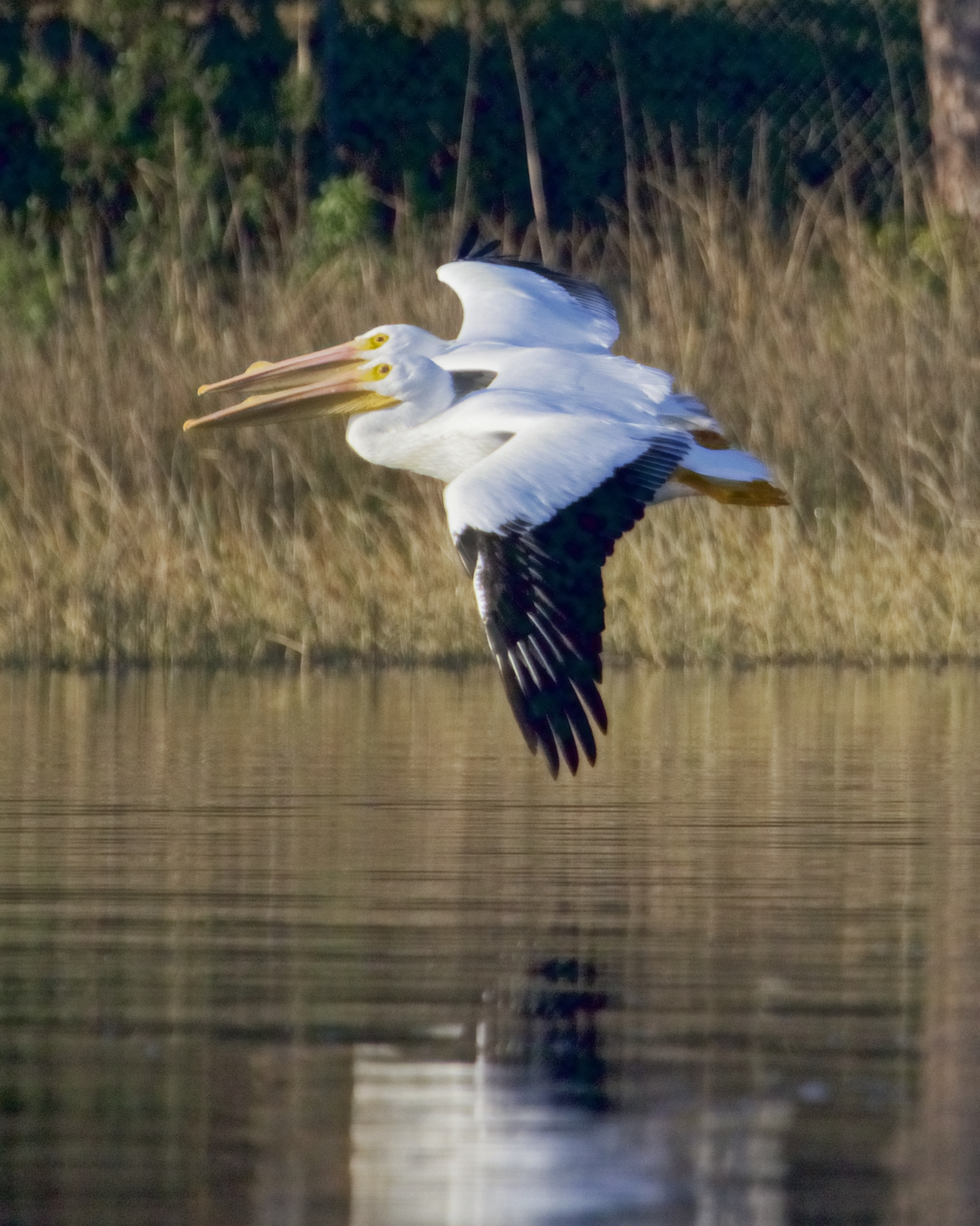 Tandom Flight..Breeding sails are showing on the beaks of this pair of male White Pelicans