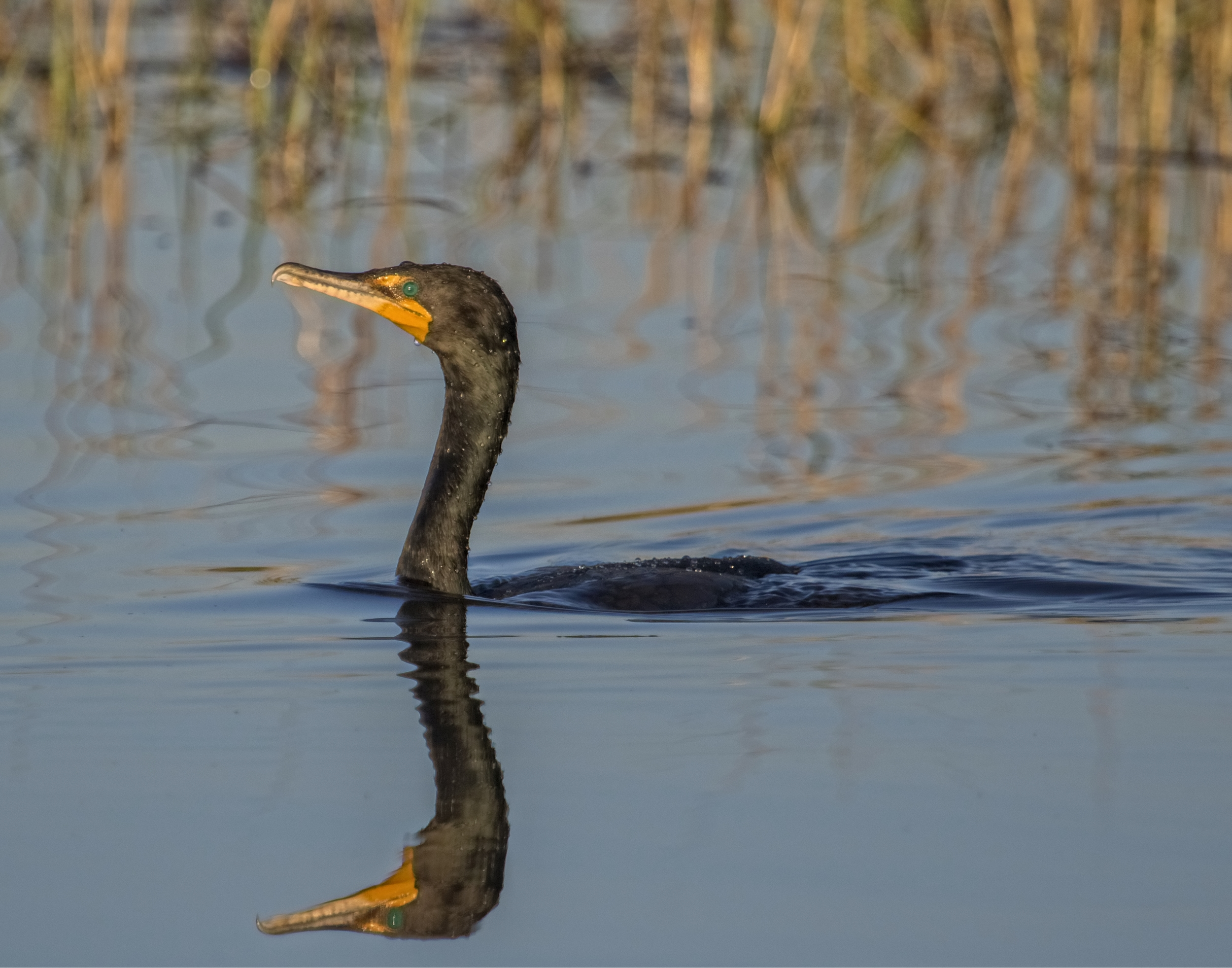 Bright blue green eyes on this male Double Crested Cormorant and bright orange on the beak are indicative of breeding plumage also..