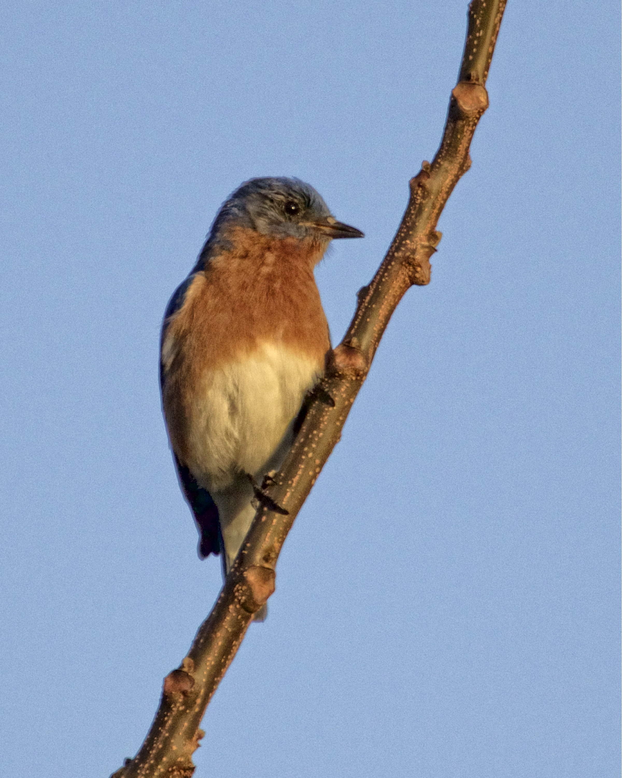 This male Eastern Bluebird's mate is sitting on eggs already..
