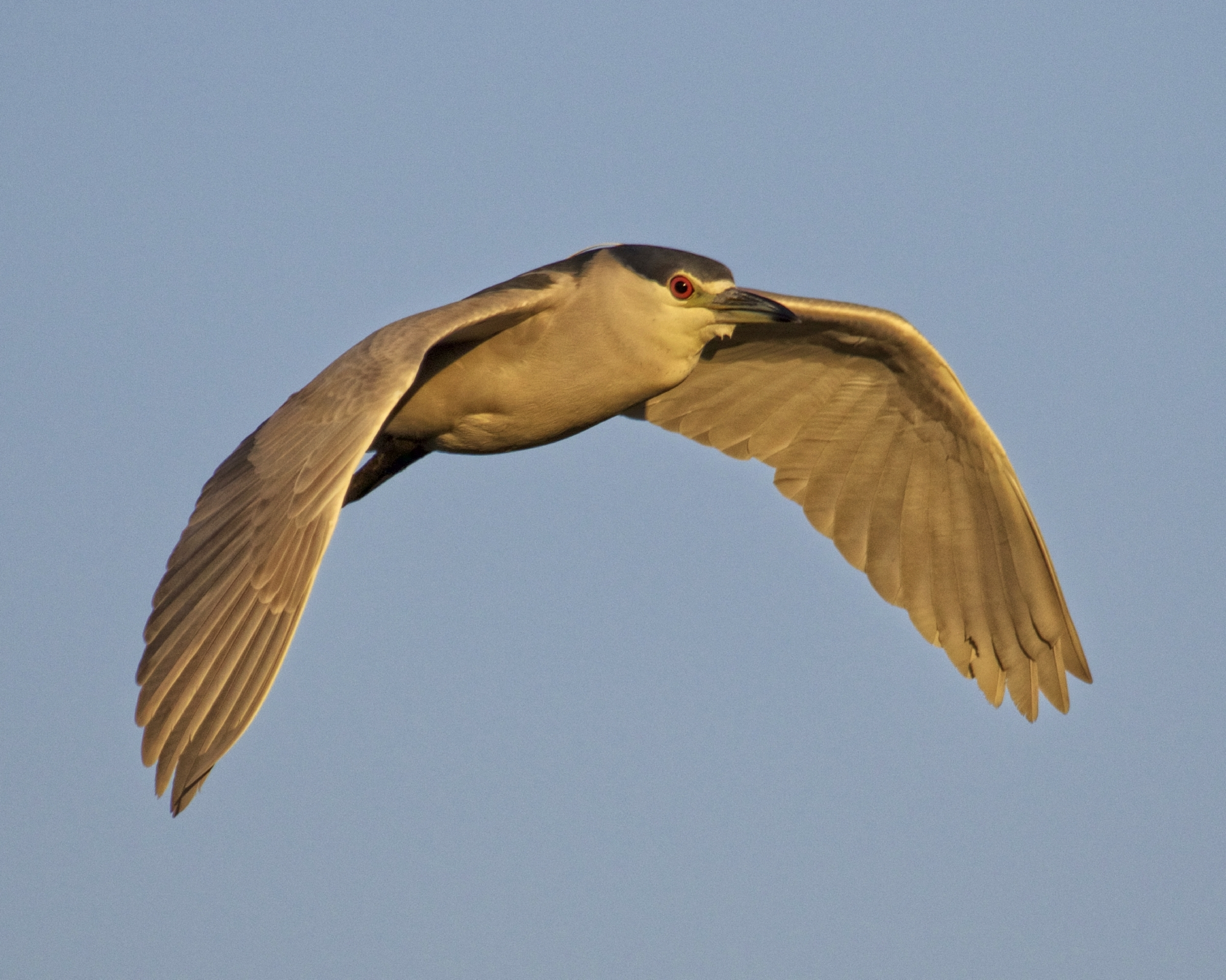 """This Black Crowned Night Heron taking the """"Red-eye"""" flight home in the early morning has its white breeding plume also.."""