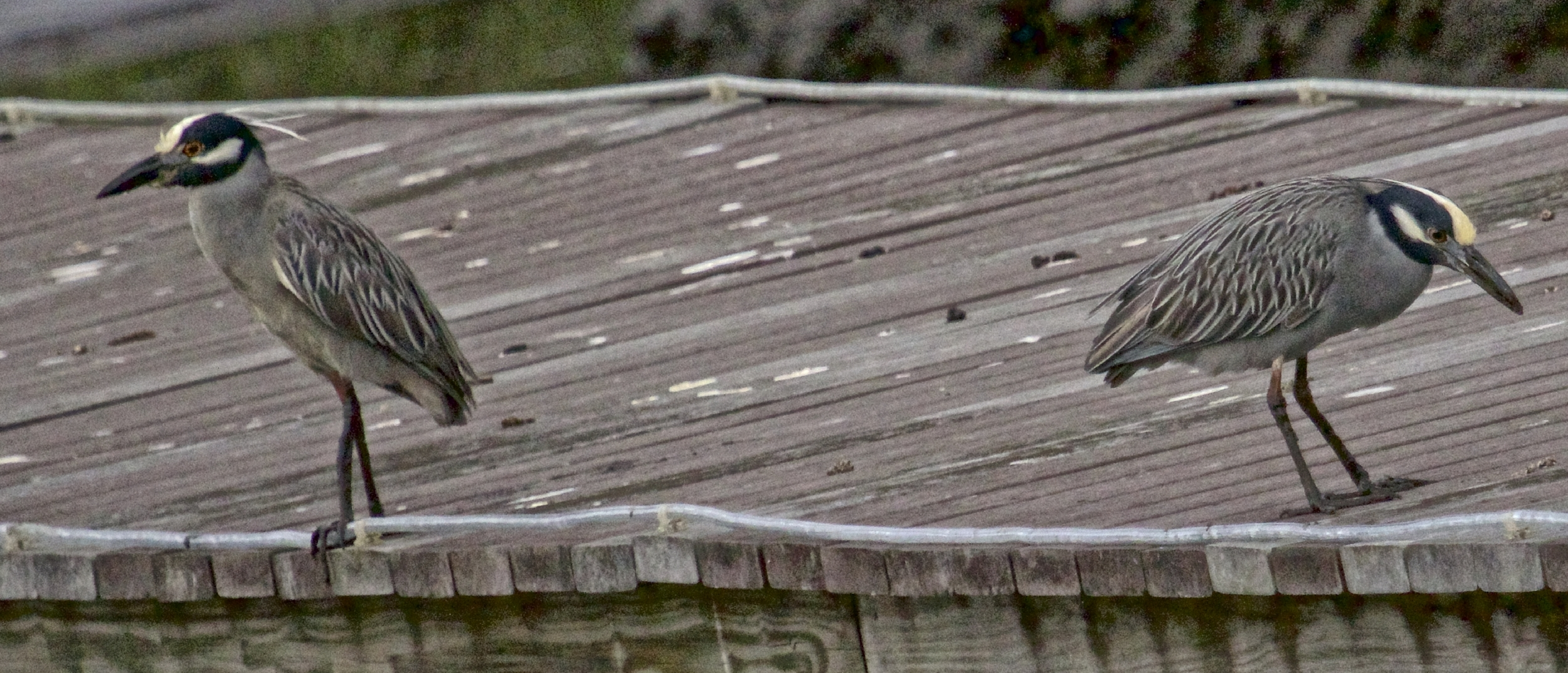 But the surest sign of spring on the Broward...George, the Yellow-crowned Night Heron and his mate Georgia are back!