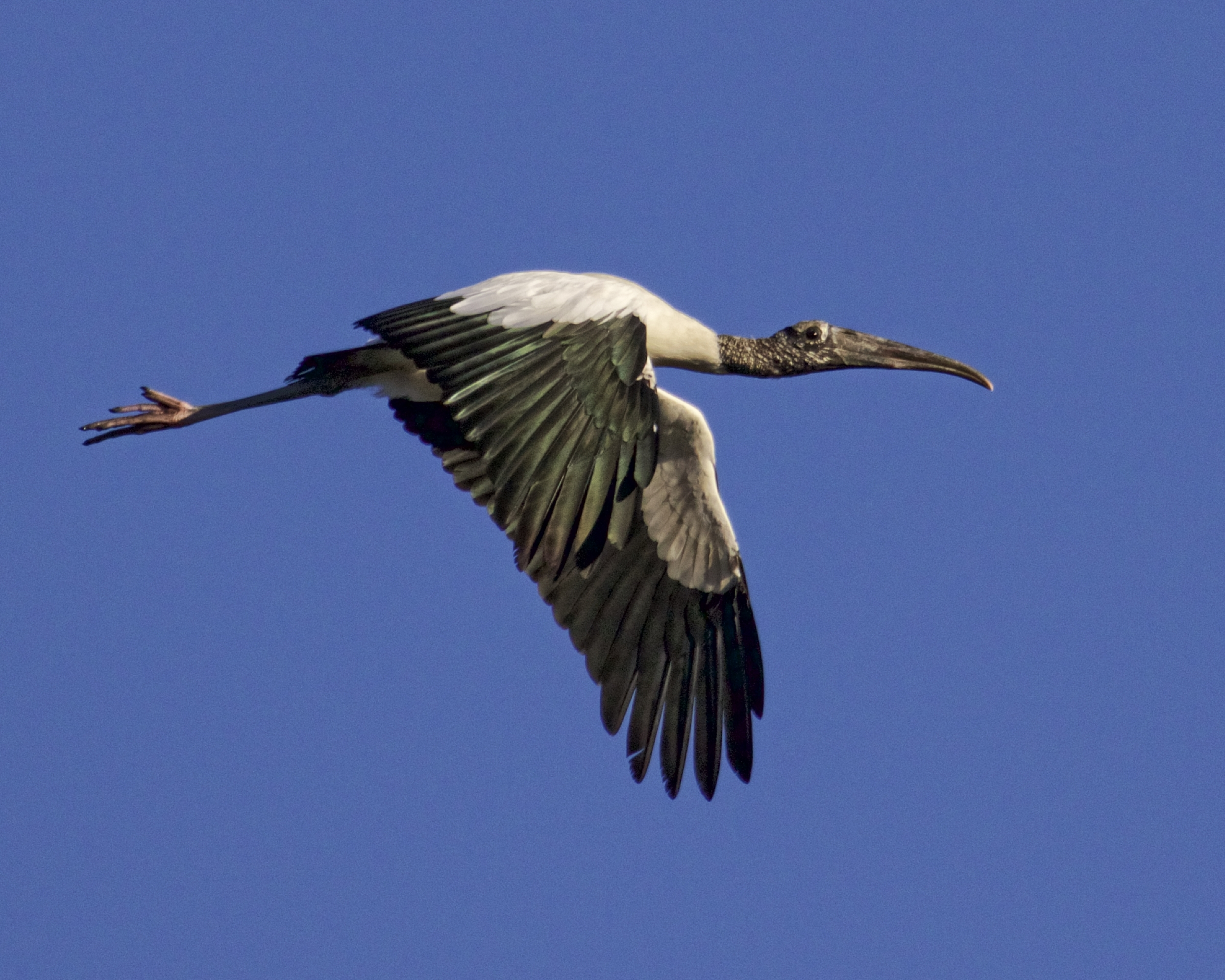 The Wood Stork does a fly over...Wow..nice looking dock..