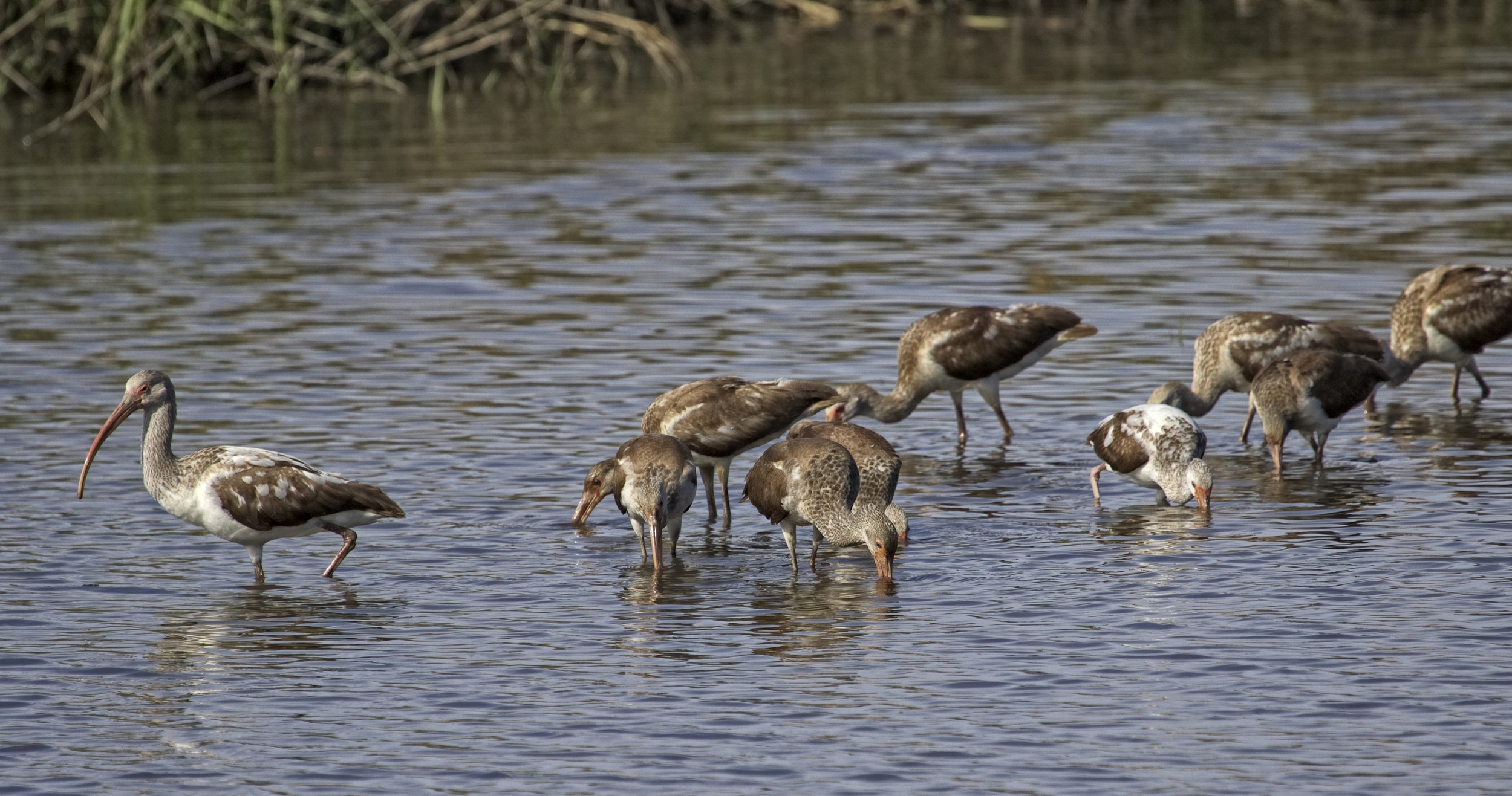 Some Juvenile White Ibis also fly in....they begin to whisper...wonder what they are saying?