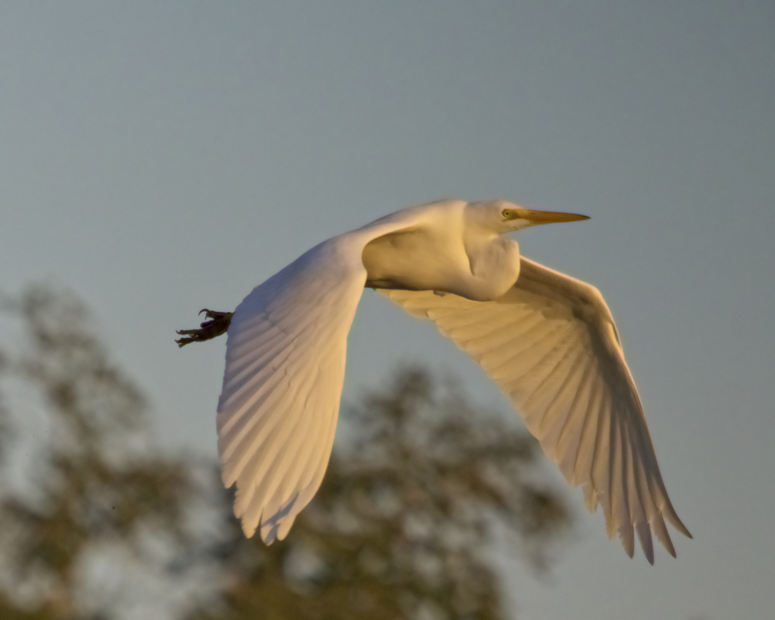 It's broad white wings are like those of an Angel..