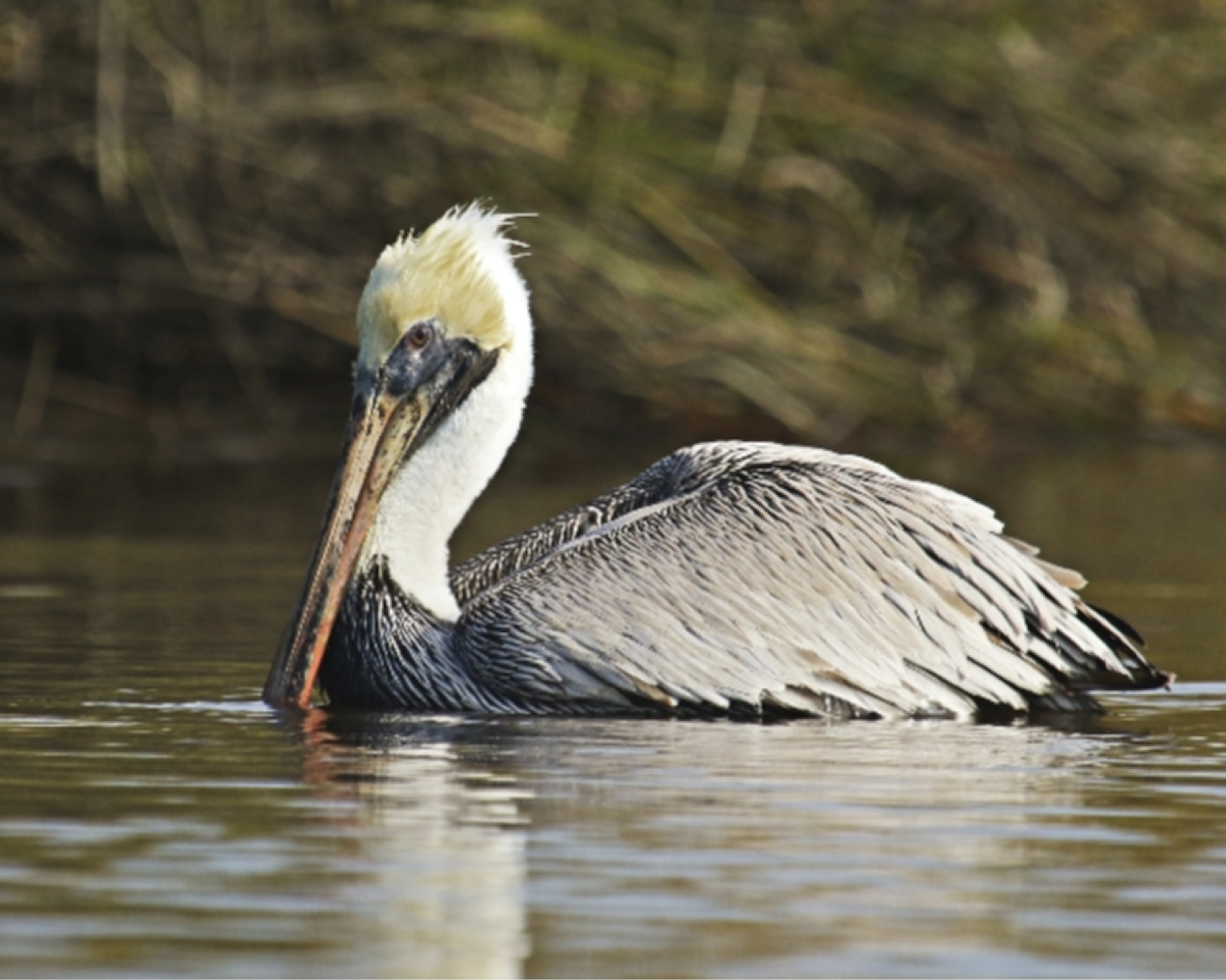 The Brown Pelicans are still on the Broward..