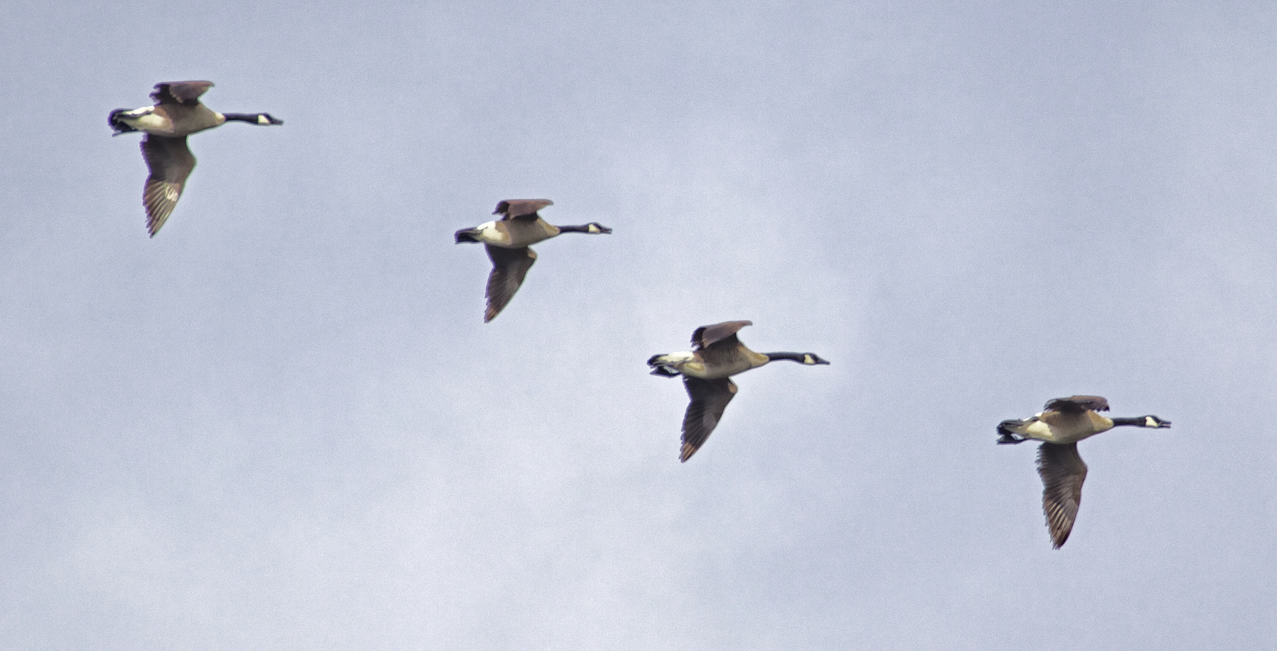 I hear the familiar honk of the Canada Geese as they fly by..