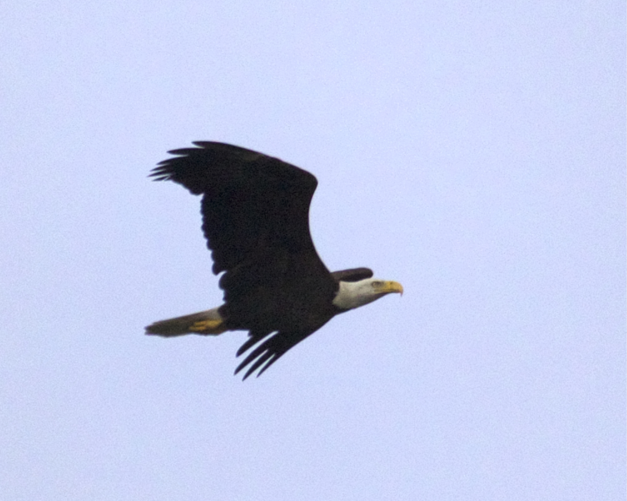 This Eagle has successfully raised and fledged a new generation..soon they will be heading North again..