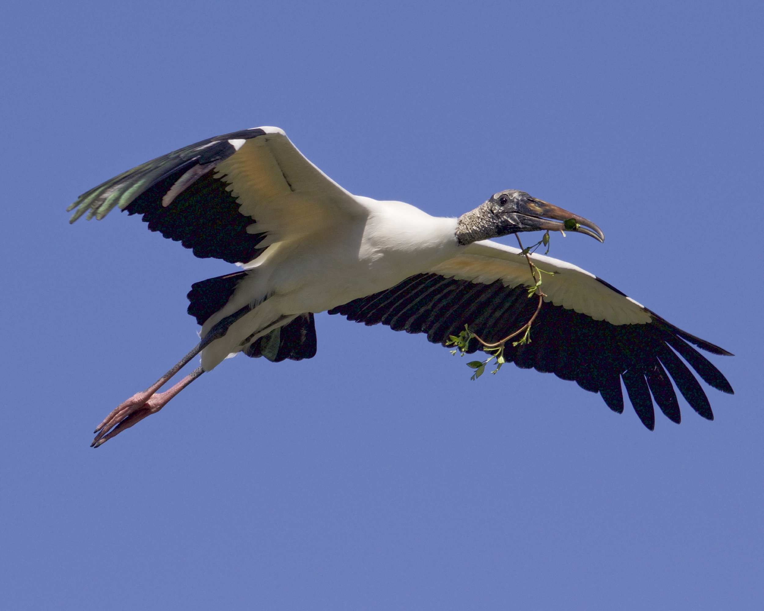 Wood Stork brings home some extra nesting material..