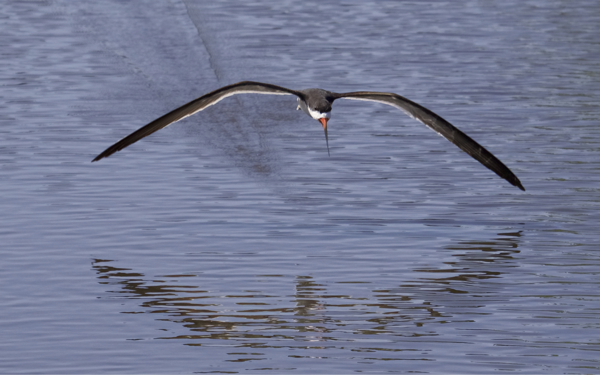 Got to remember to keep that beak in the water...