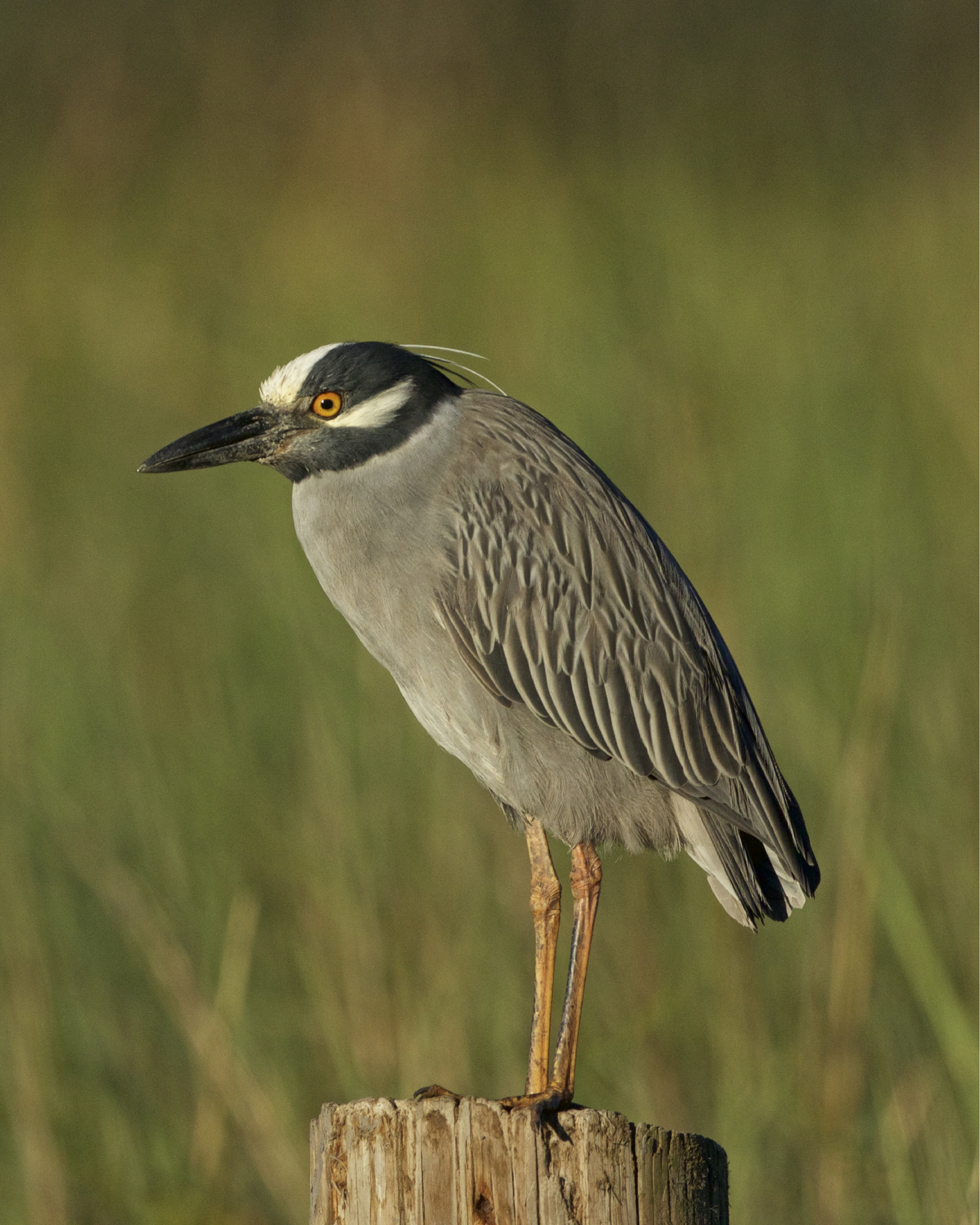 George the Yellow Crowned Night Heron is definitely feeling that spring thing.