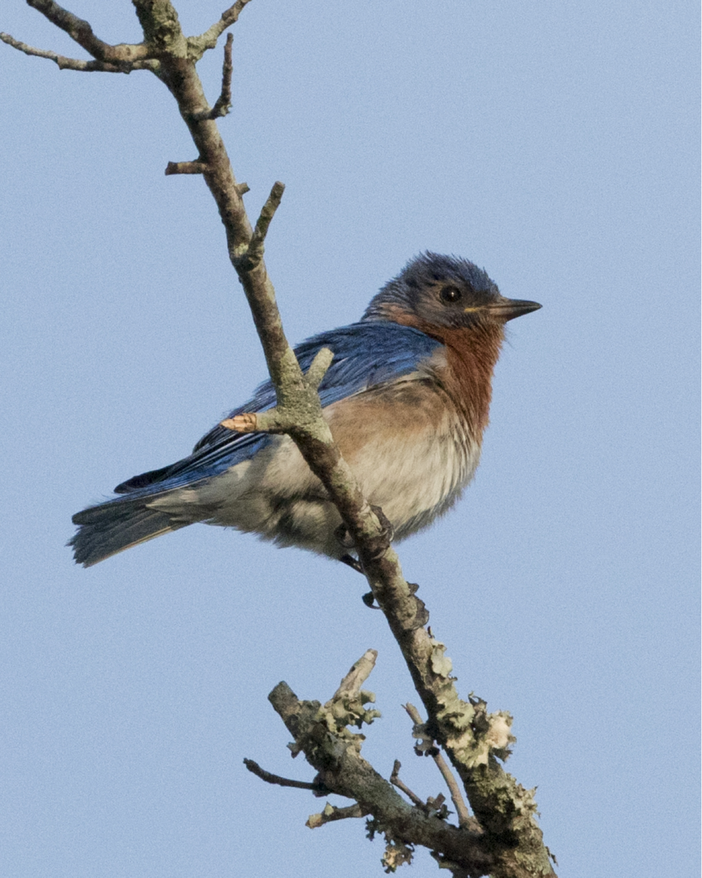 Thankfully the Bluebird babies still have a daddy to watch over them and teach them to fly..