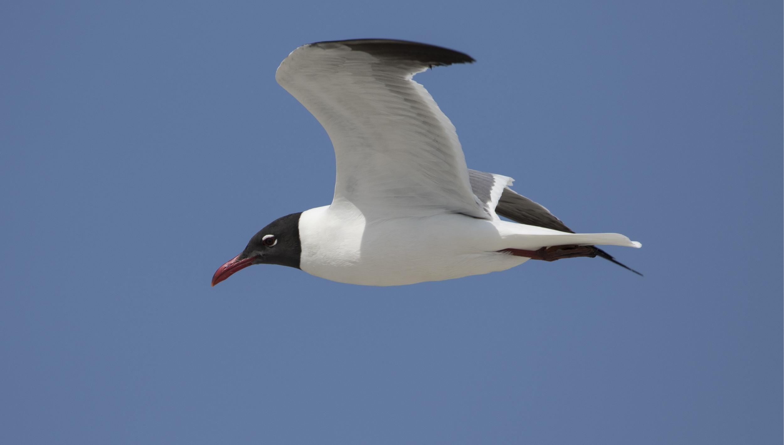 A Laughing Gull heads out to the beach to find food for the newly hatched chicks.