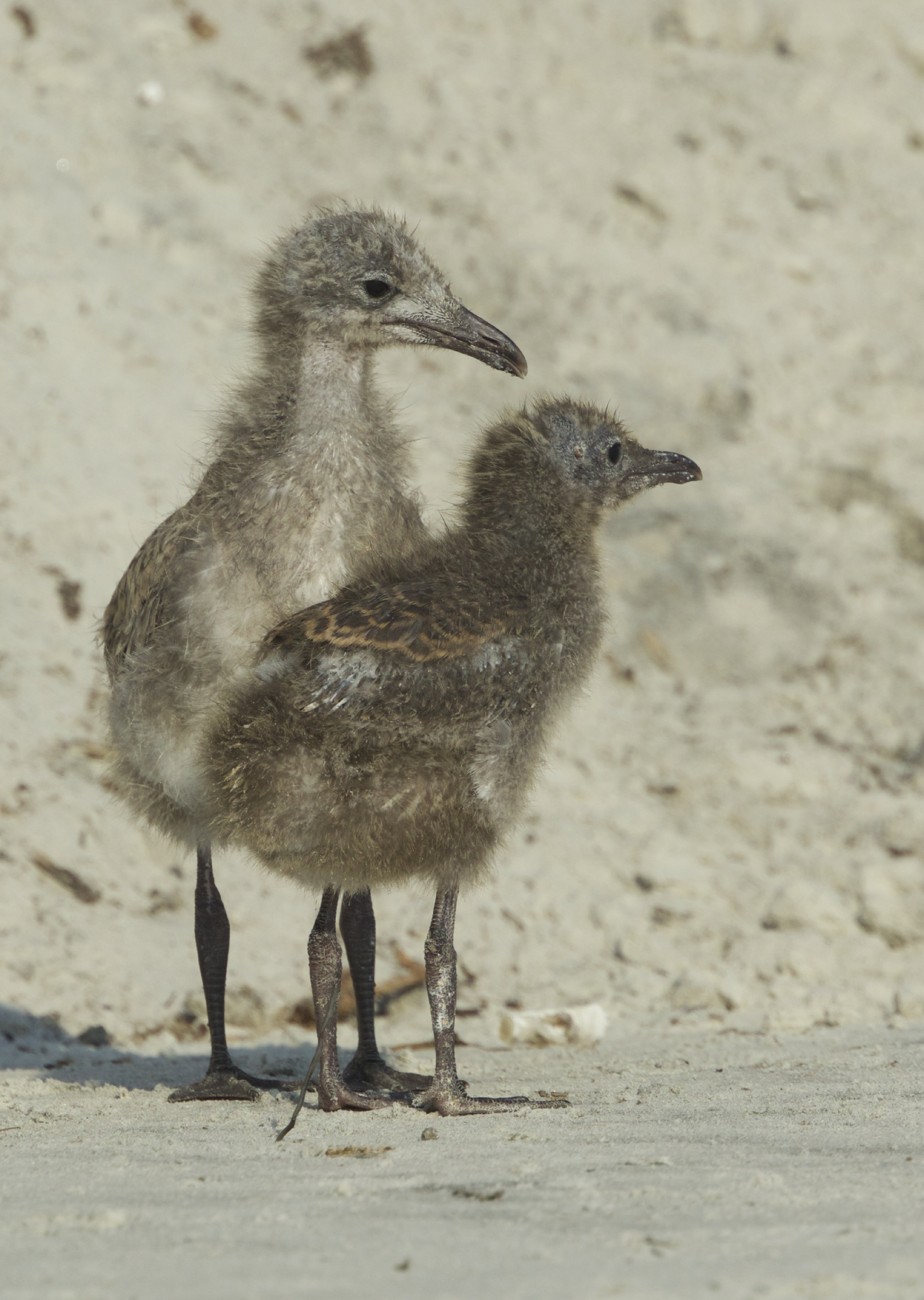 Where is Mom?..I am getting too hot! Young chicks cannot regulate their body heat.