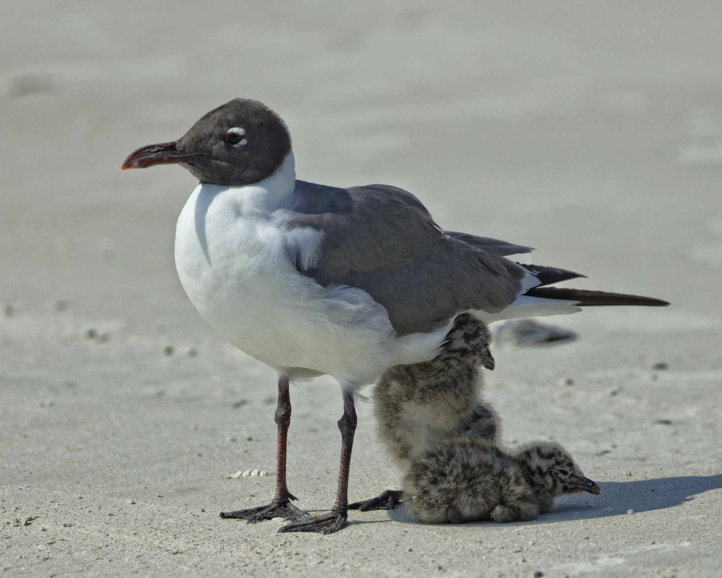 Found her! Young Laughing gull chicks abide in the shadow of their parents to keep cool.