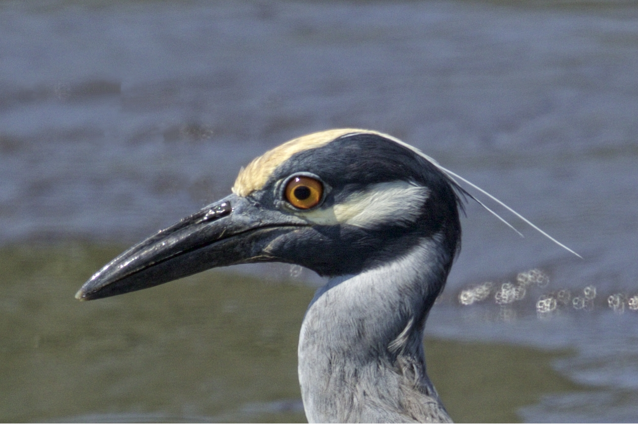 """Cousin Joe got to see and meet """"George"""", the Yellow-crowned Night Heron face to beak.."""