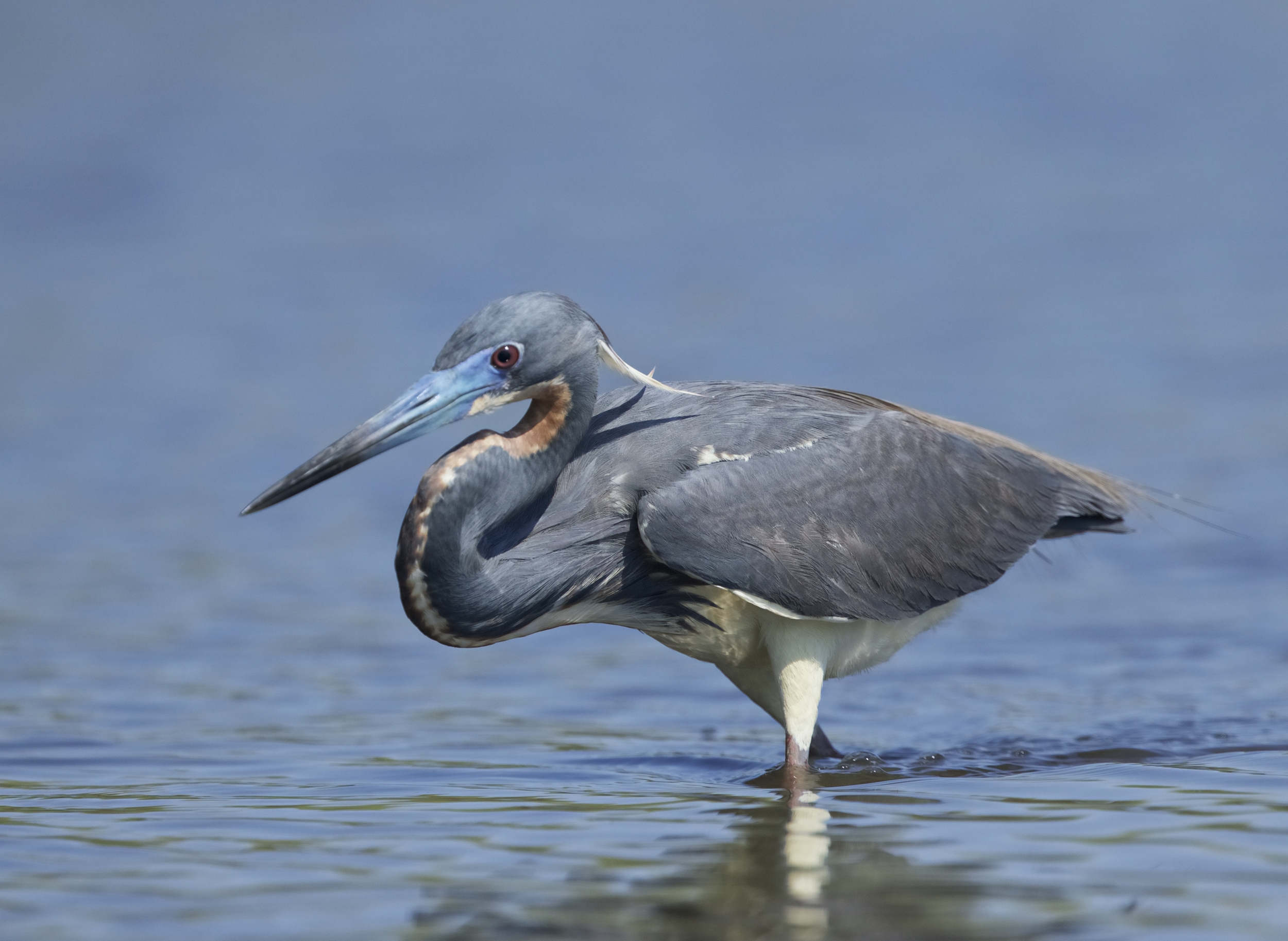 The Tricolored Heron begins its daily stalk for breakfast minnows..