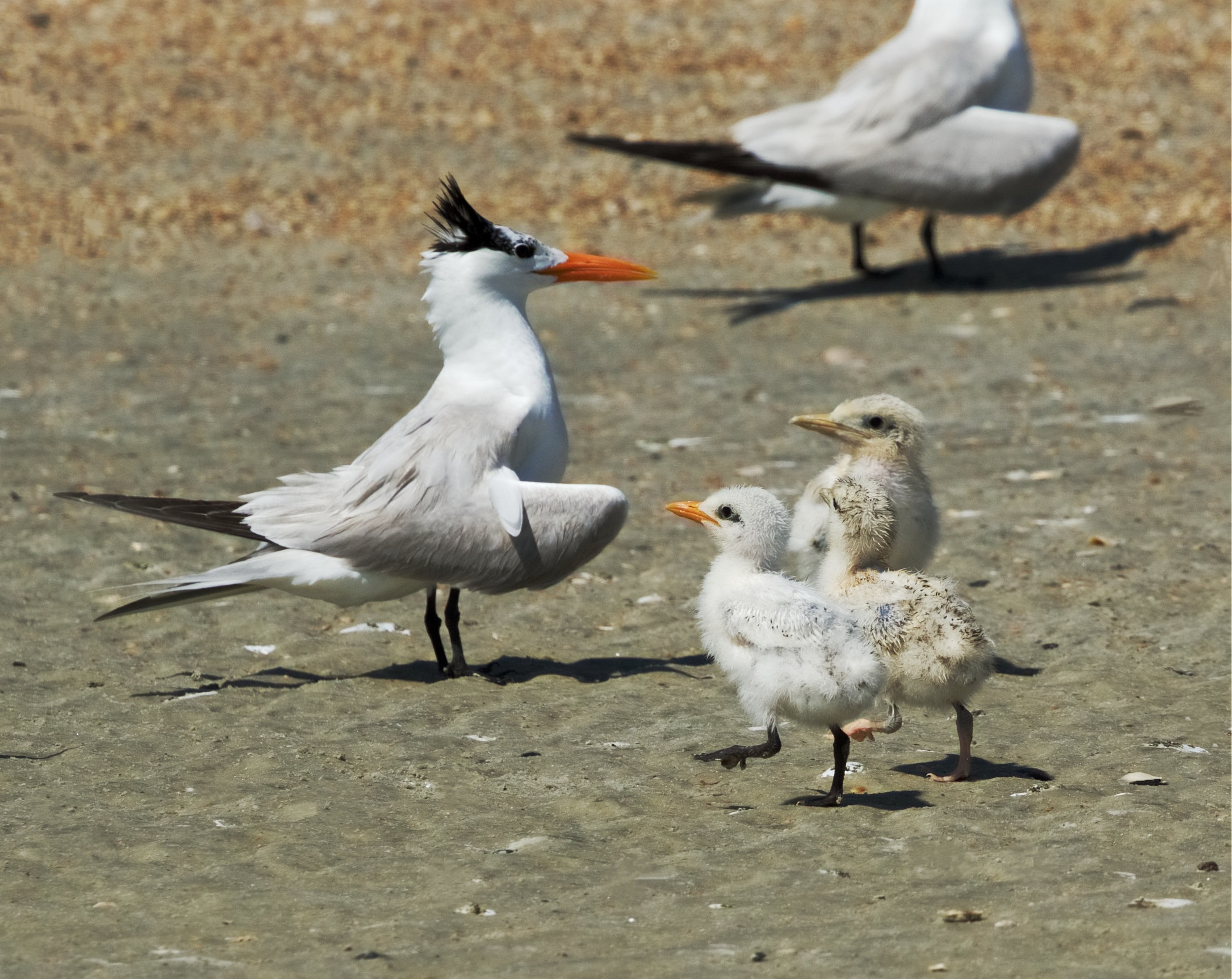 Proud Mamma..Royal Terns usually hatch one or two chicks..