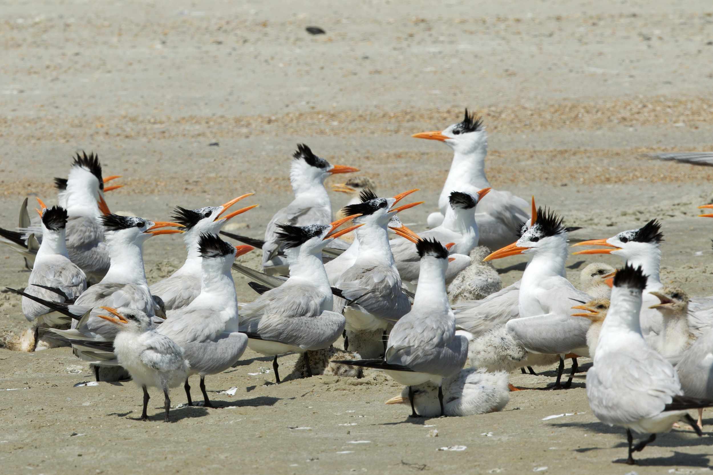 """Royal Terns and chicks gather in what is called a """"creche"""" for protections.."""