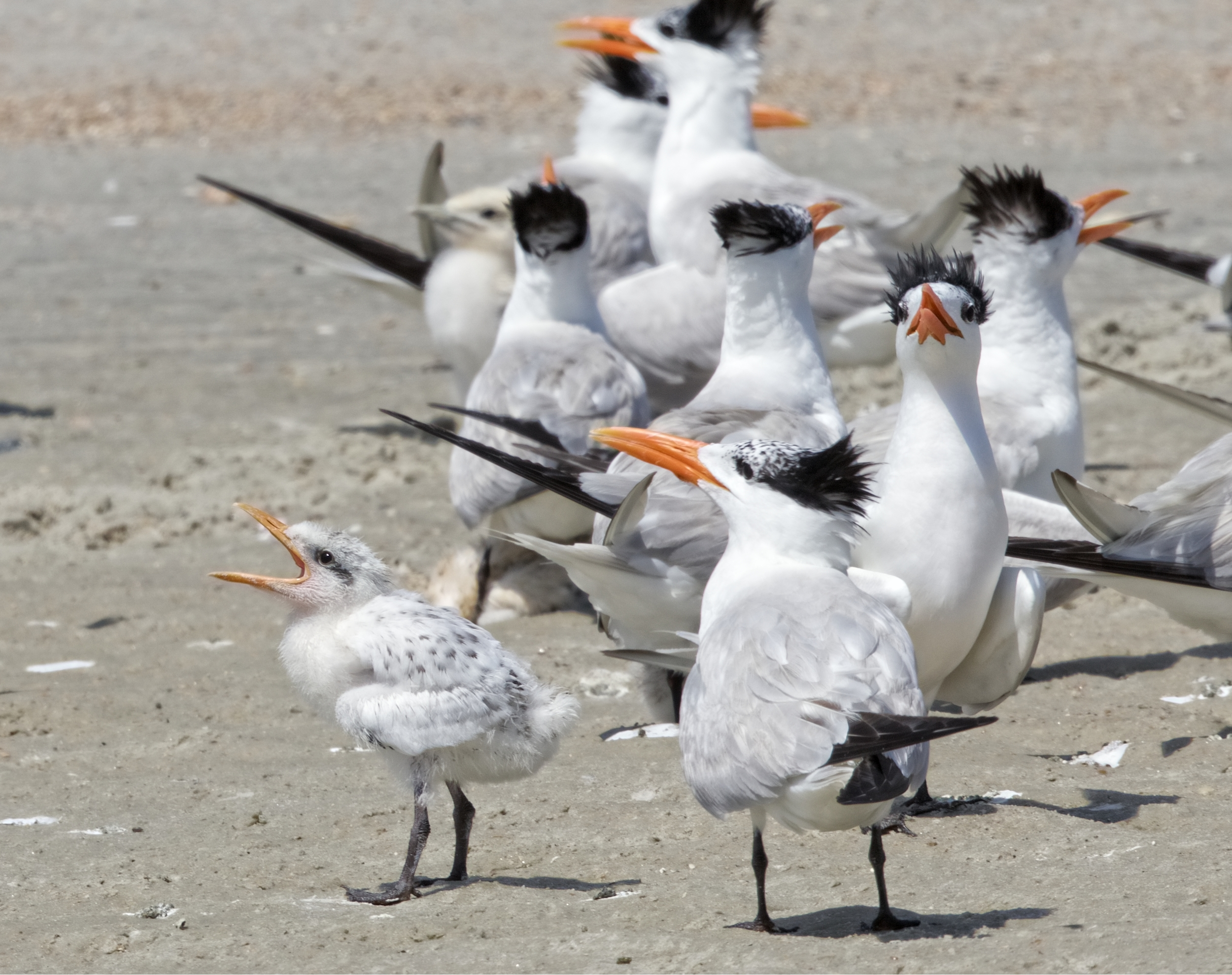 Royalty wants fed..Royal Tern pairs will only feed their own chicks. They recognize it by call.